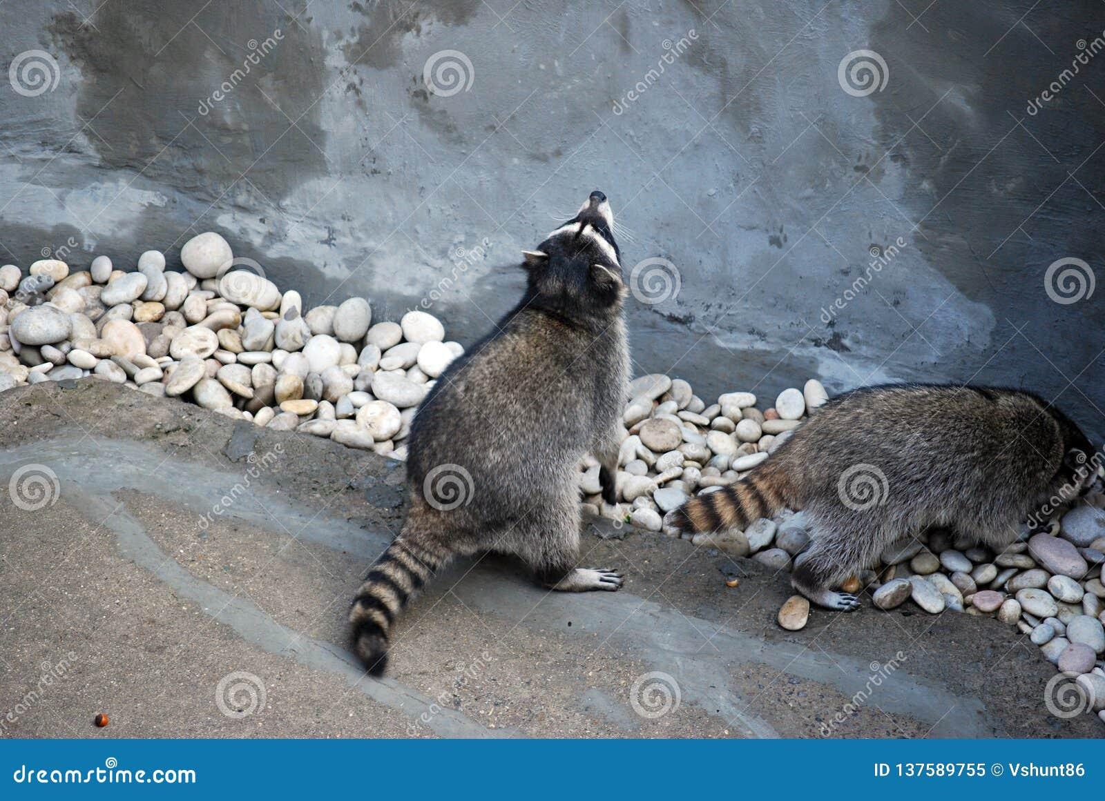 Το ρακούν εγκλωβίζει υπαίθρια, στο ζωολογικό κήπο της Μόσχας Γένος των αρπακτικών θηλαστικών της οικογένειας enotovy