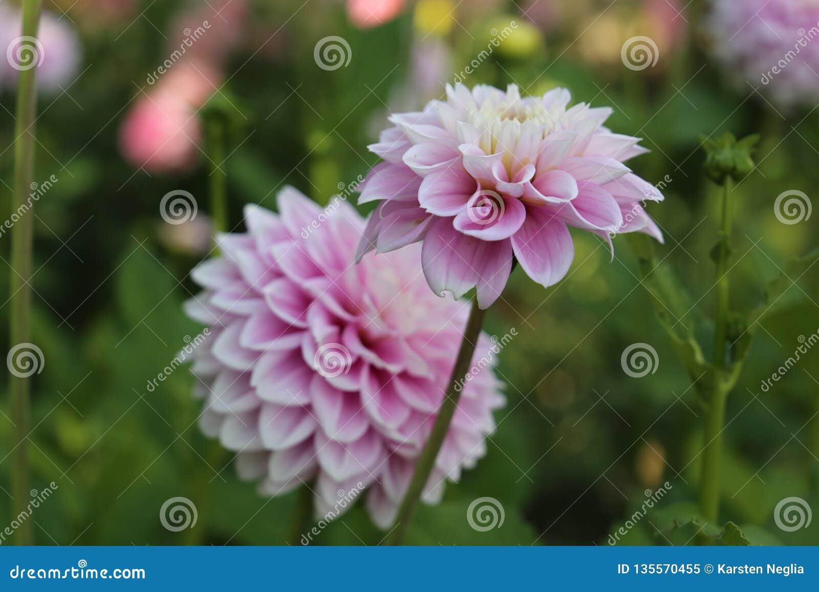 Το ρόδινο και άσπρο άνθος νταλιών, όμορφες ανθίσεις λαμπρύνει τους κήπους