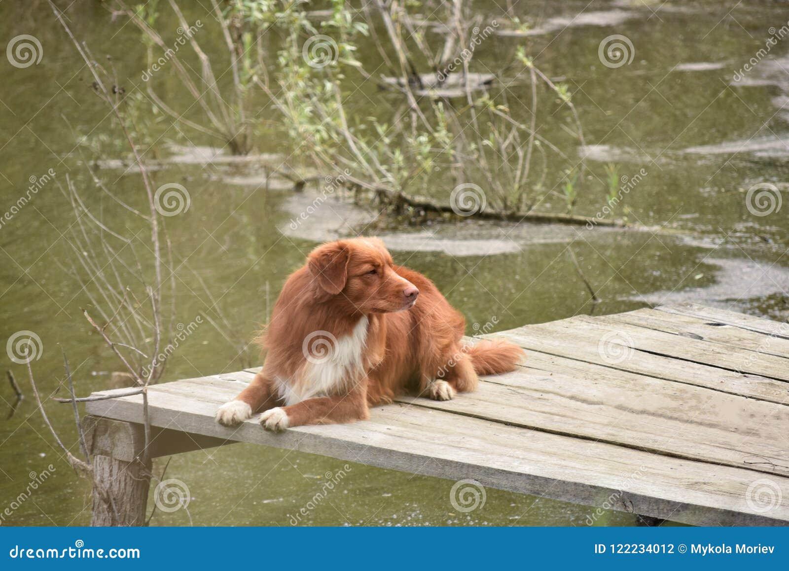 Το σκυλί βρίσκεται σε μια ξύλινη γέφυρα