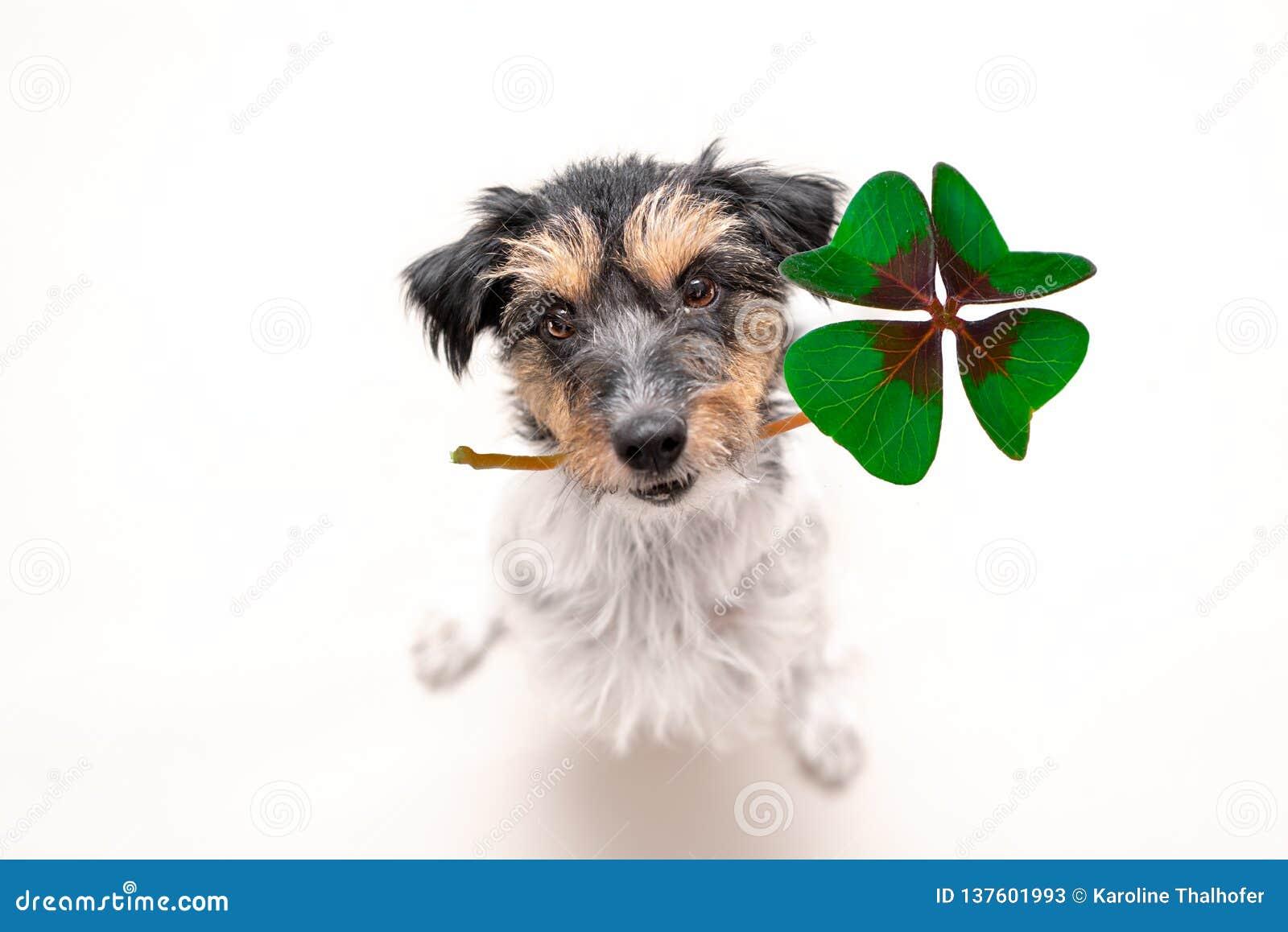 Το σκυλί τεριέ του Jack Russell κρατά μια τυχερή γοητεία τριφυλλιού τέσσερις-φύλλων και ανατρέχει