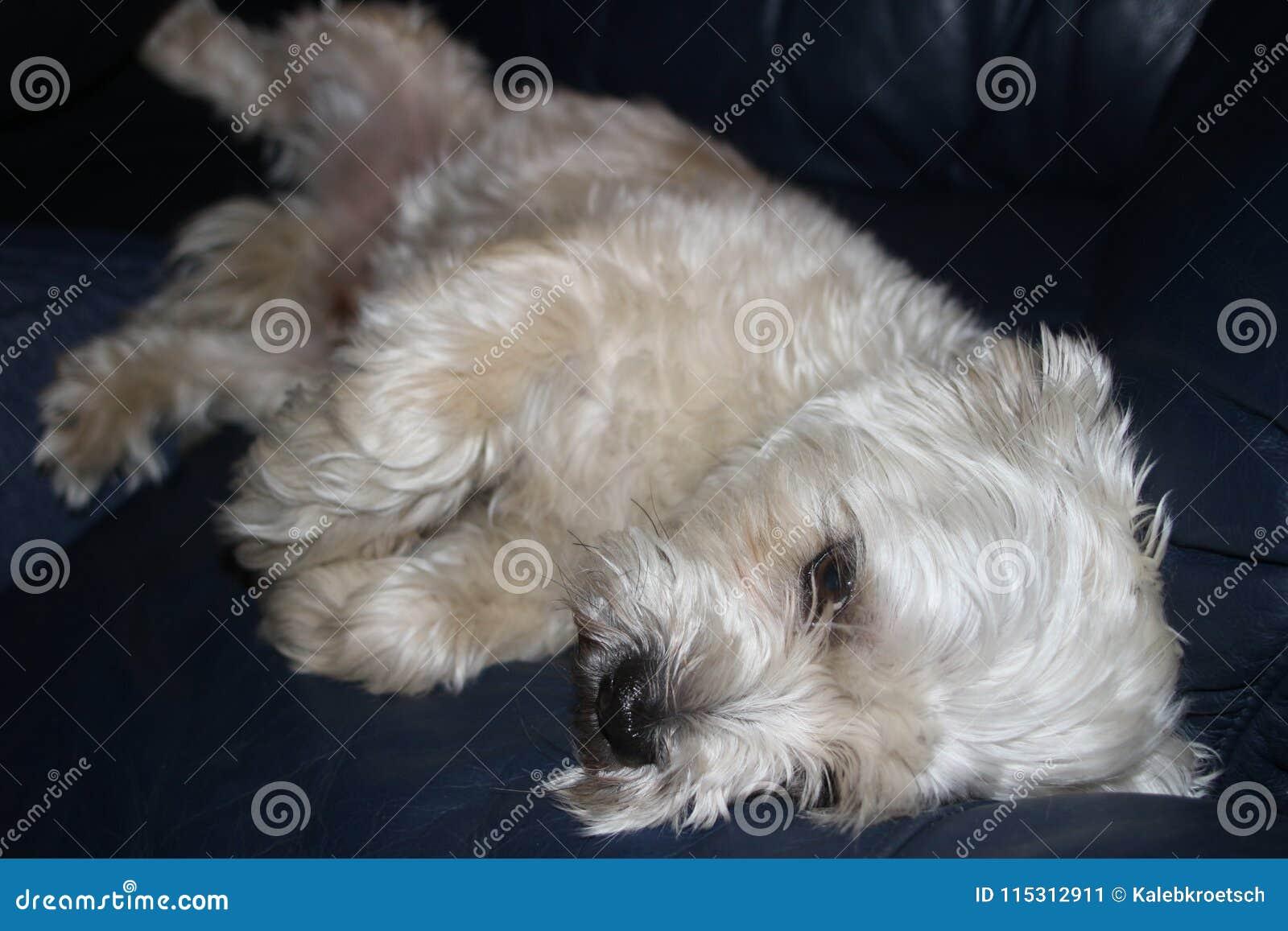 Το σκυλί tzu Shih είναι λυπημένος καθορισμός βλέμματος πολύ