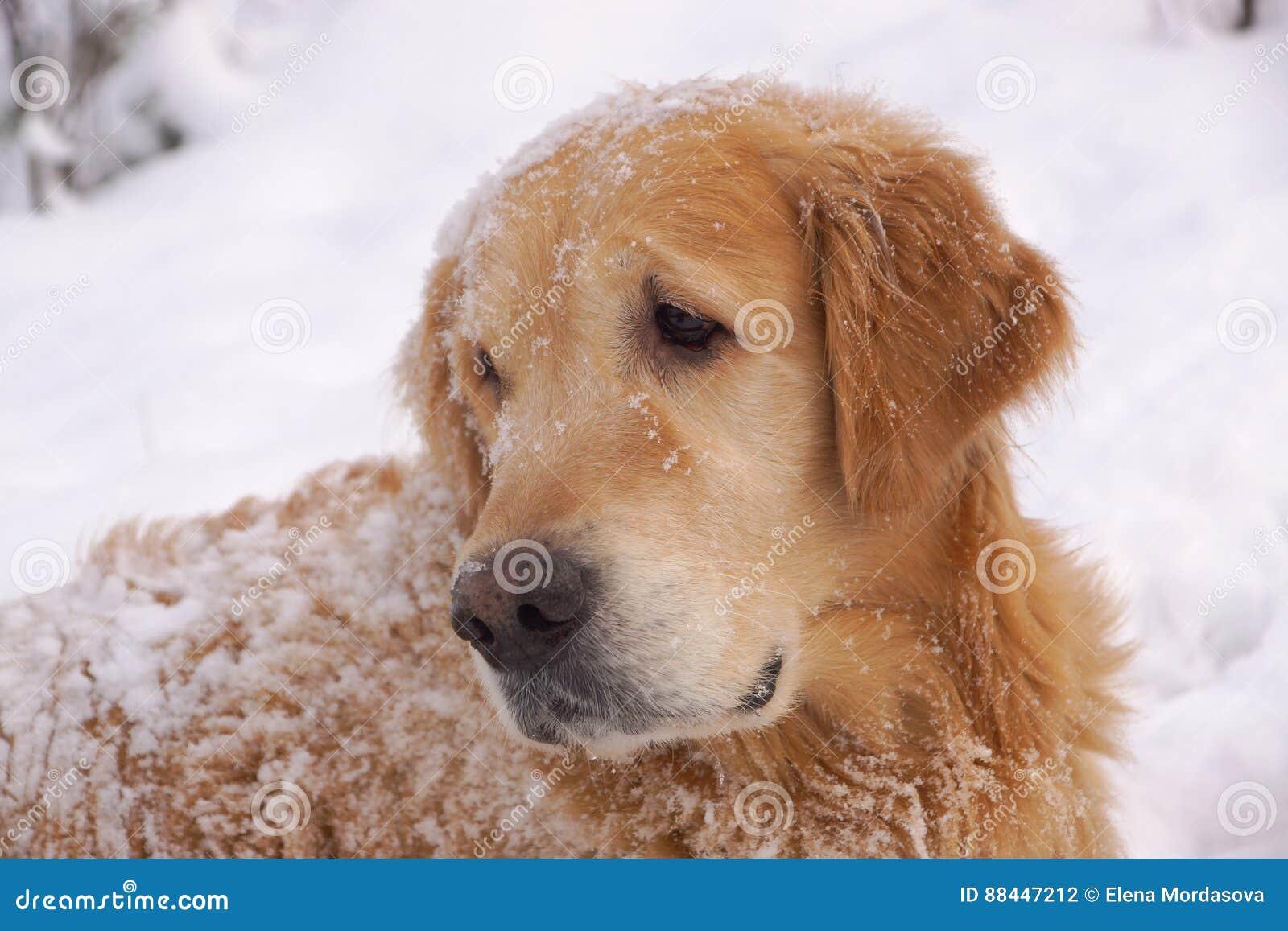 Το σκυλί αναπαράγει χρυσό retriever που ξανακοιτάζει, που βρίσκεται γύρω από και που παίζει στο άσπρο χιόνι