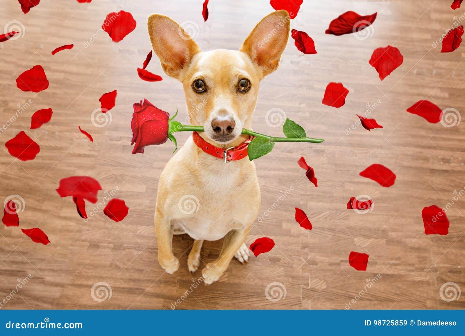 Το σκυλί βαλεντίνων ερωτευμένο με αυξήθηκε στο στόμα