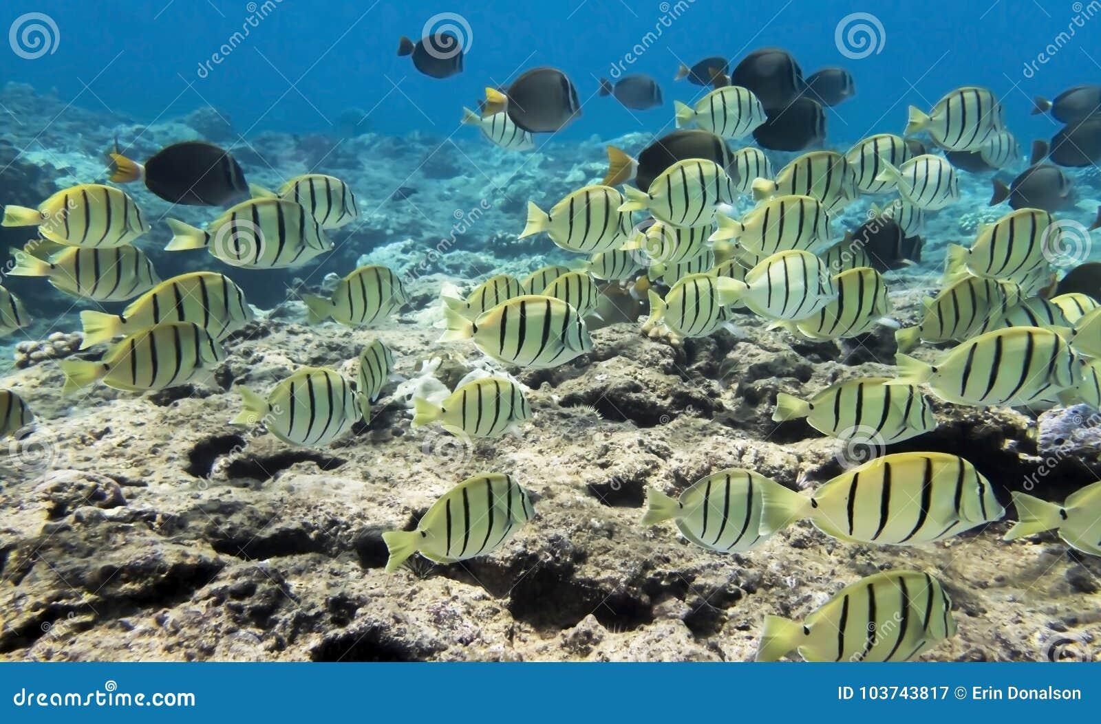 Το σχολείο κίτρινου ριγωτού καταδικάζει τα ψάρια σκοπέλων του Tang υποβρύχια