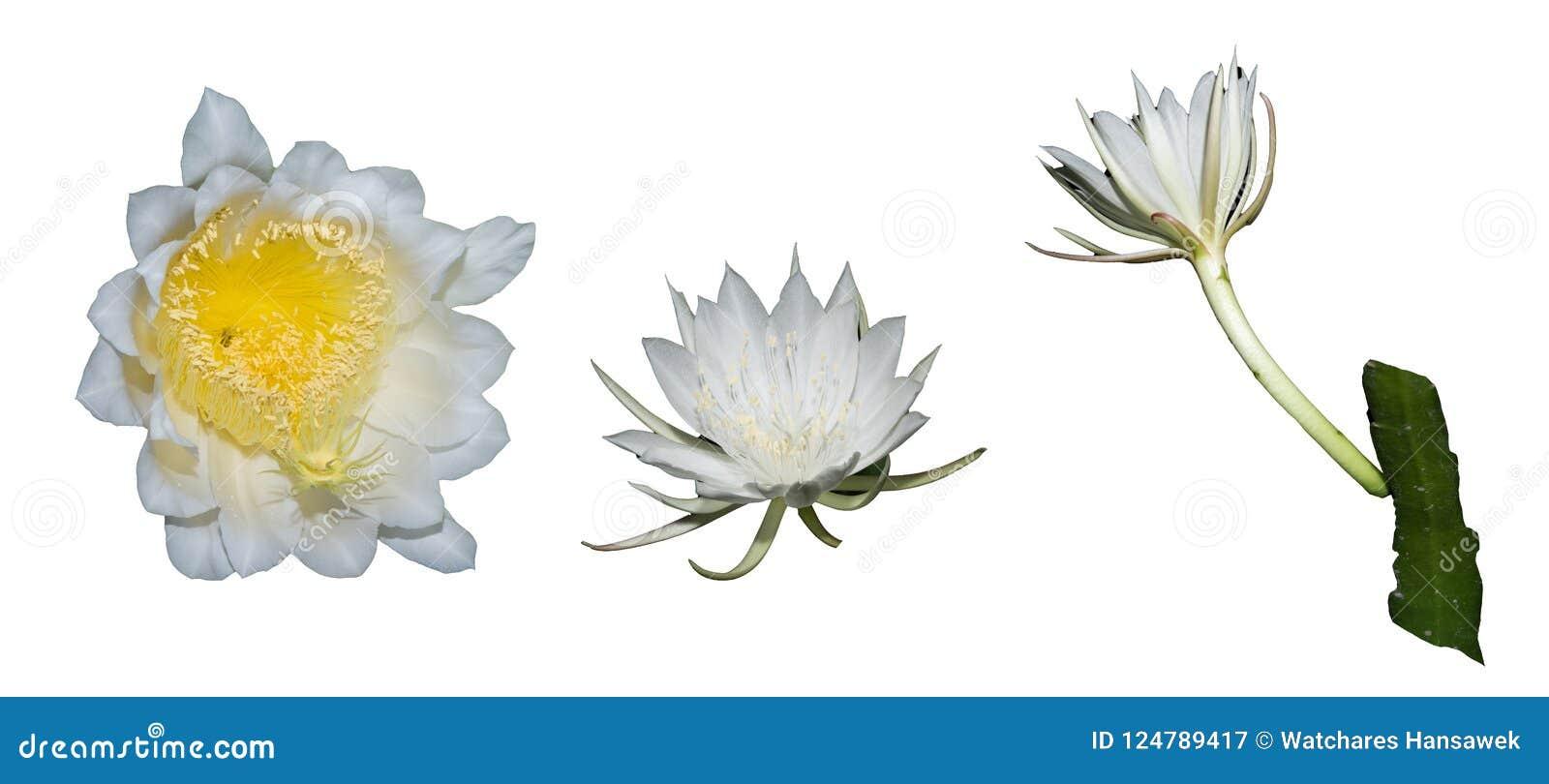 Το ΤΑΪΛΑΝΔΙΚΟ λουλούδι κάκτων αναρρίχησης, στην Ταϊλάνδη καλείται λουλούδι ` ` BOTAN που απομονώνεται στο λευκό