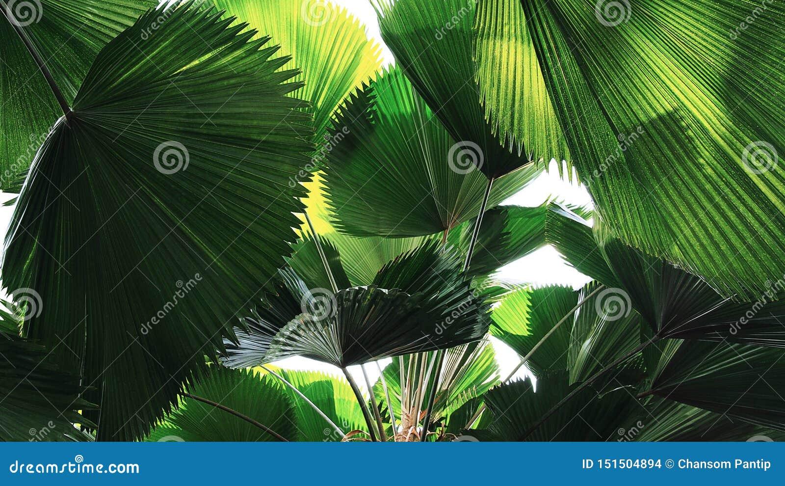 Το τροπικό σχέδιο φύλλων φοινικών ανεμιστήρων τροπικών δασών φύλλων, αφαιρεί το πράσινο υπόβαθρο φύσης