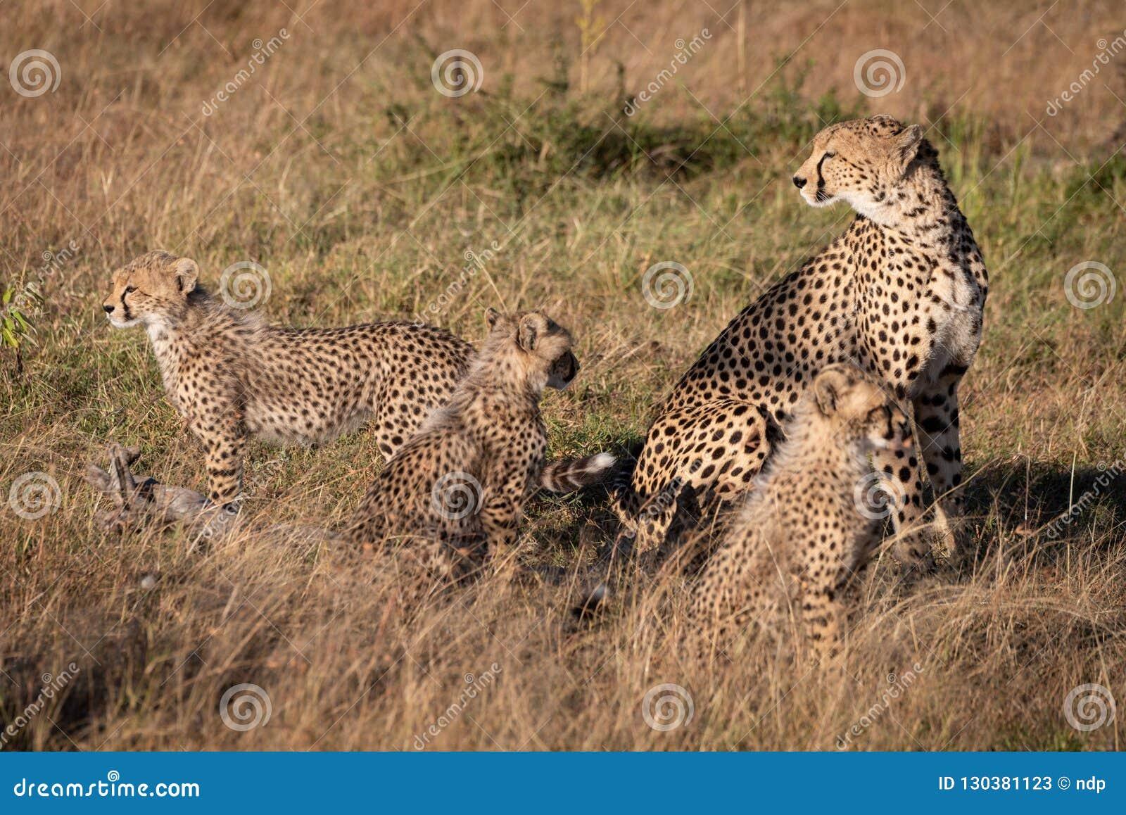 Το τσιτάχ κάθεται με τρία cubs στη χλόη