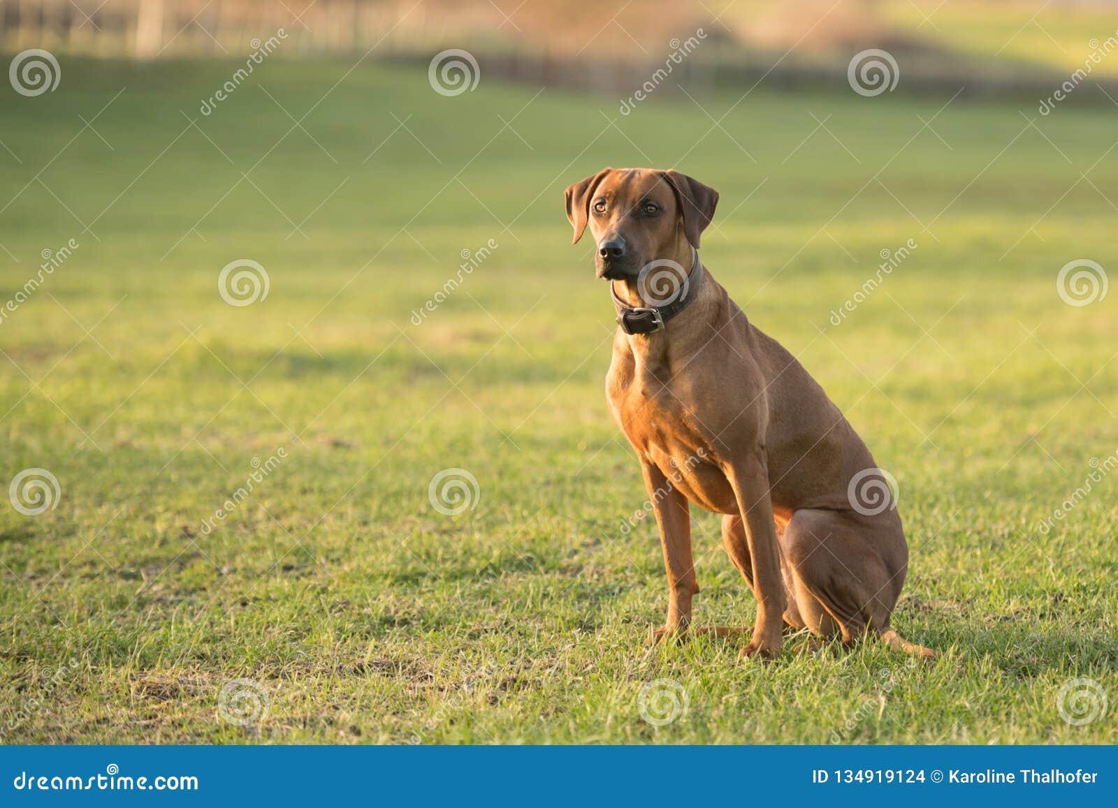 Το υπερήφανο σκυλί Rhodesian Ridgeback κάθεται σε ένα πράσινο λιβάδι στο θολωμένο κλίμα