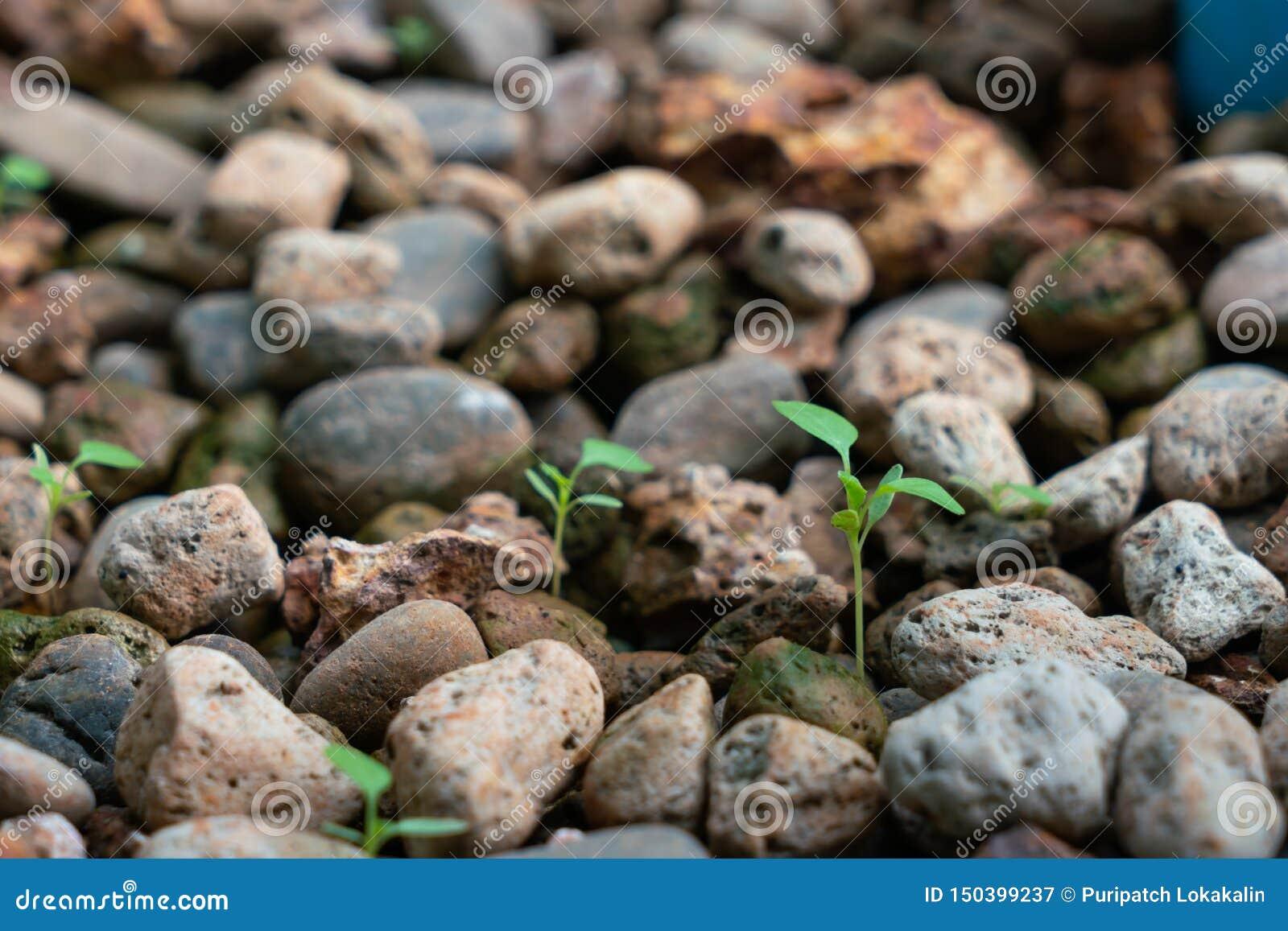 Το φυτό αυξάνεται στο aquaponic σύστημα