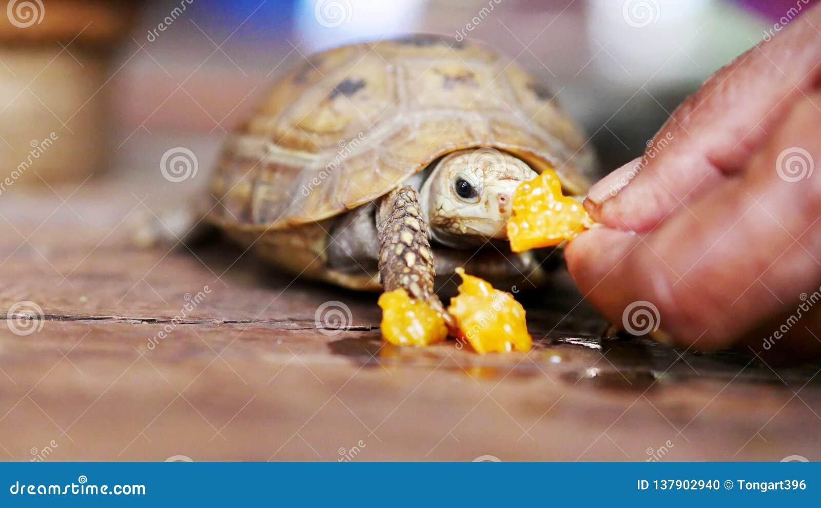 Το χέρι κρατά τα τρόφιμα για τη μικρή χελώνα που ταΐζεται στο σπίτι