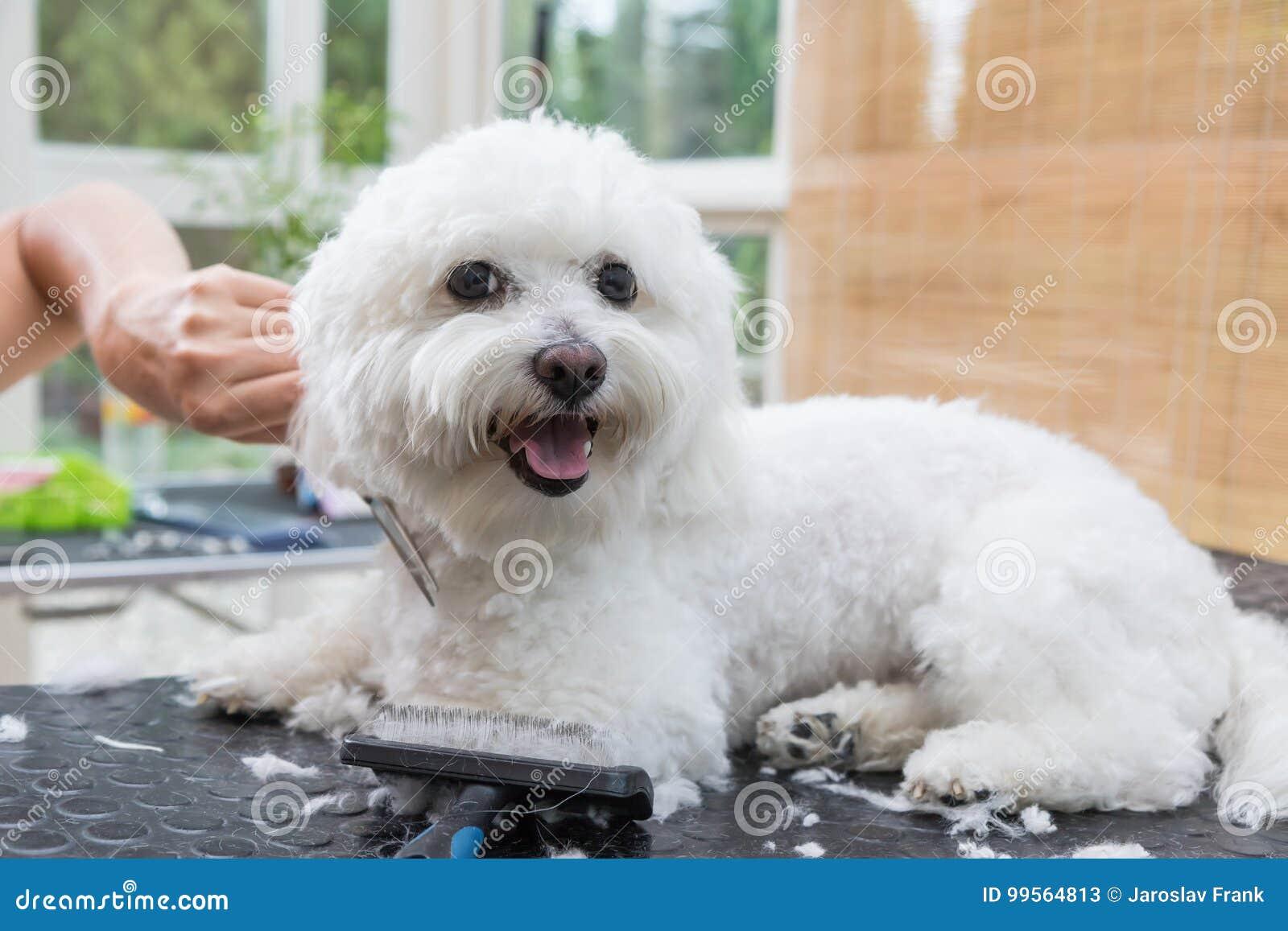 Το χαριτωμένο άσπρο από τη Μπολώνια σκυλί απολαμβάνει τον καλλωπισμό