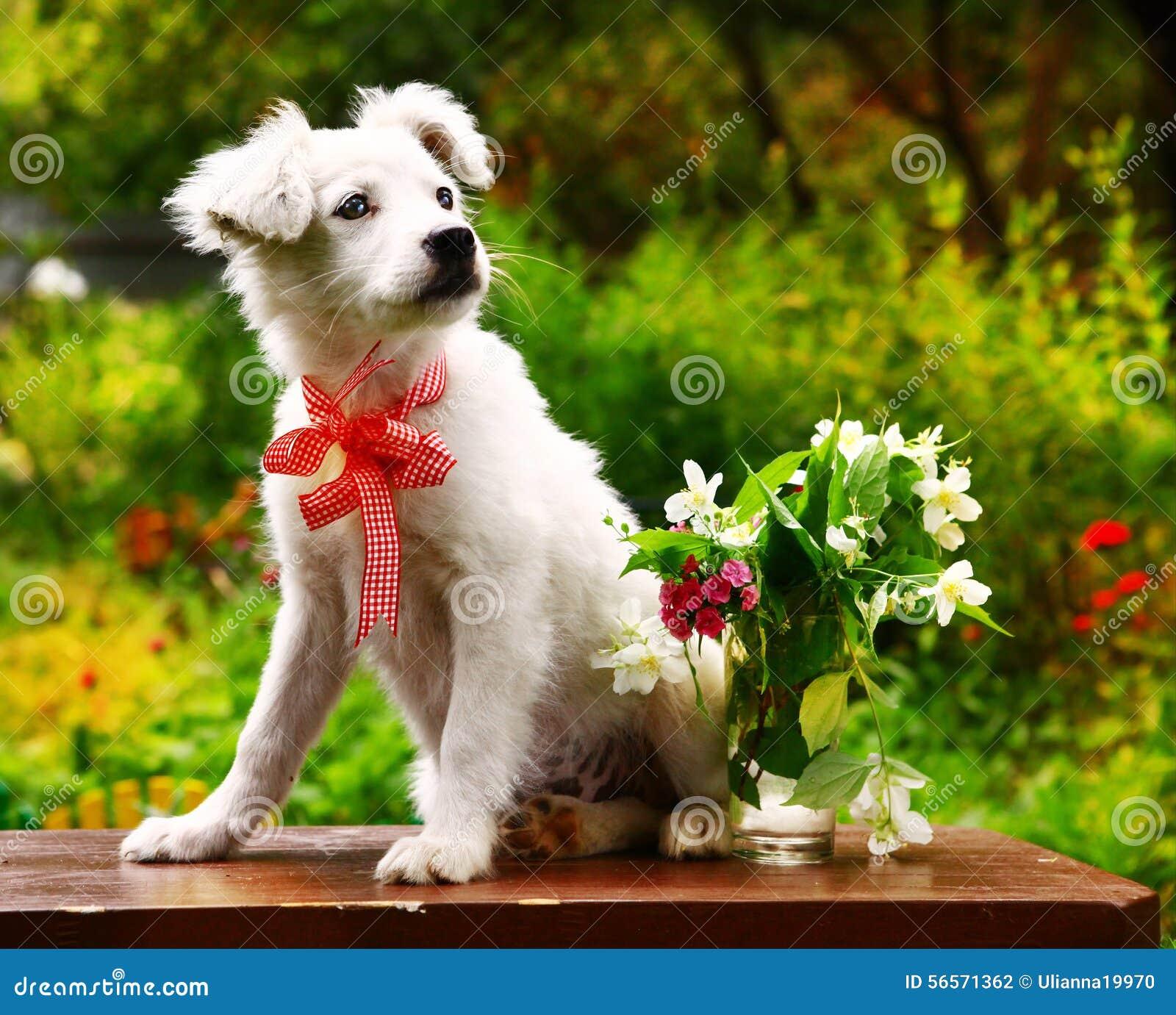 Download Το χνουδωτό άσπρο κουτάβι με το βάζο Jasmin και του γαρίφαλου ανθίζει στο υπόβαθρο θερινών κήπων Στοκ Εικόνες - εικόνα από breckenridge, αυτιά: 56571362