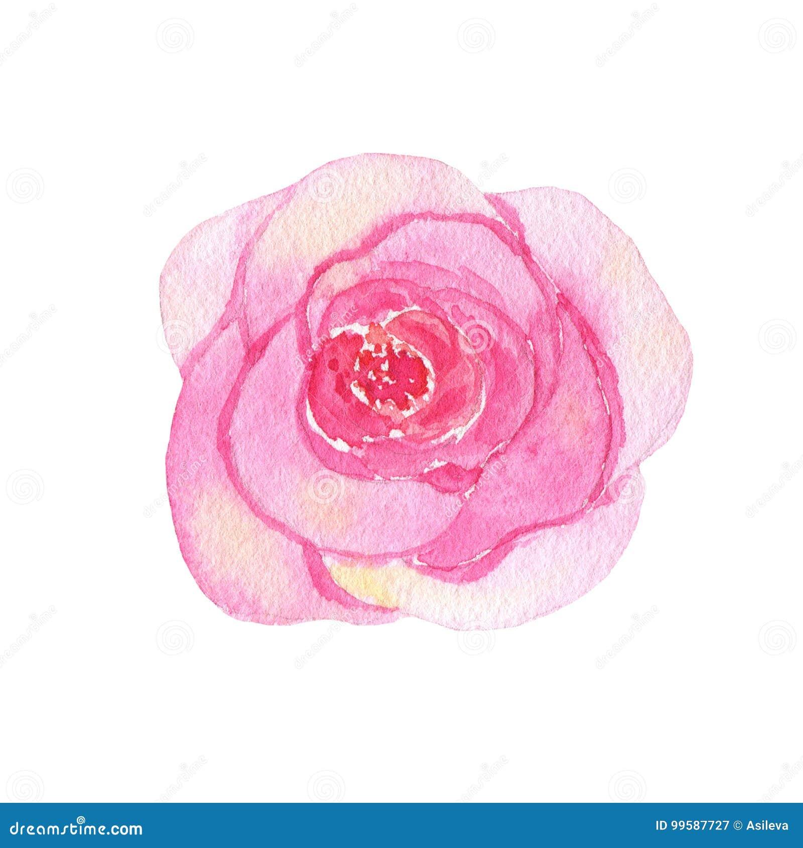 Το χρωματισμένο χέρι λουλούδι Watercolor ρόδινο αυξήθηκε απομονωμένος στο άσπρο υπόβαθρο