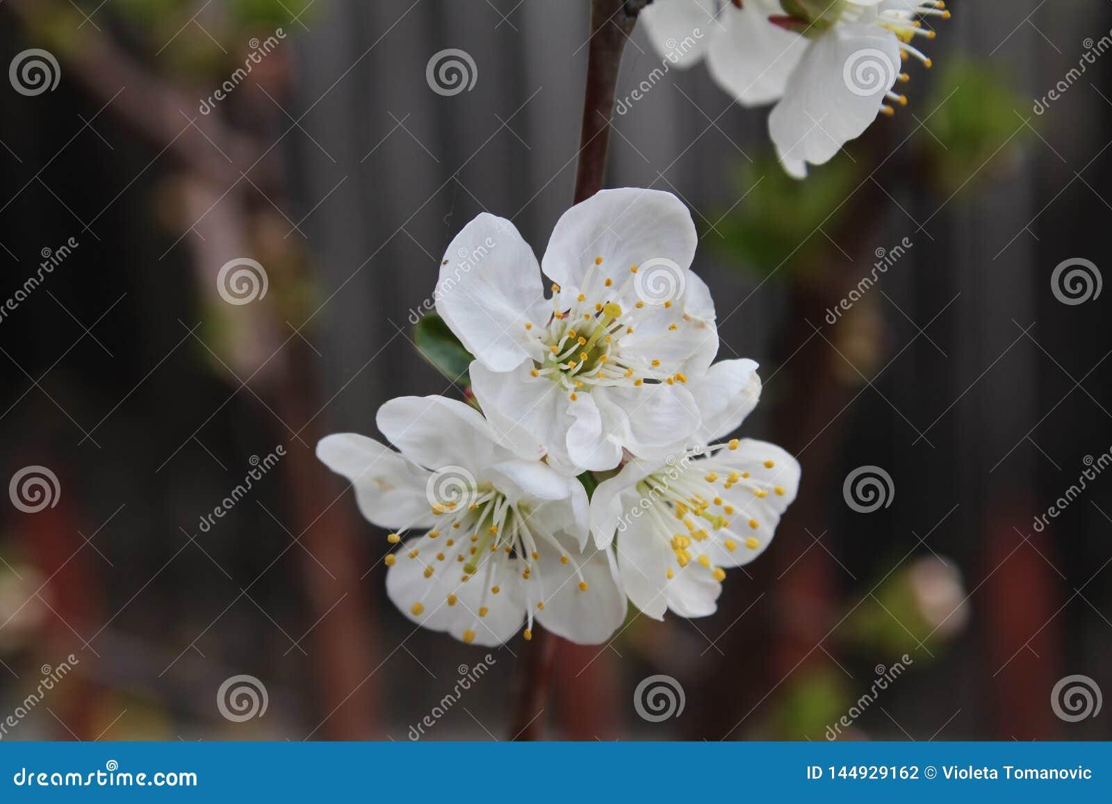 Το όμορφο άσπρο λουλούδι στο δέντρο αχλαδιών ανθίζει την άνοιξη