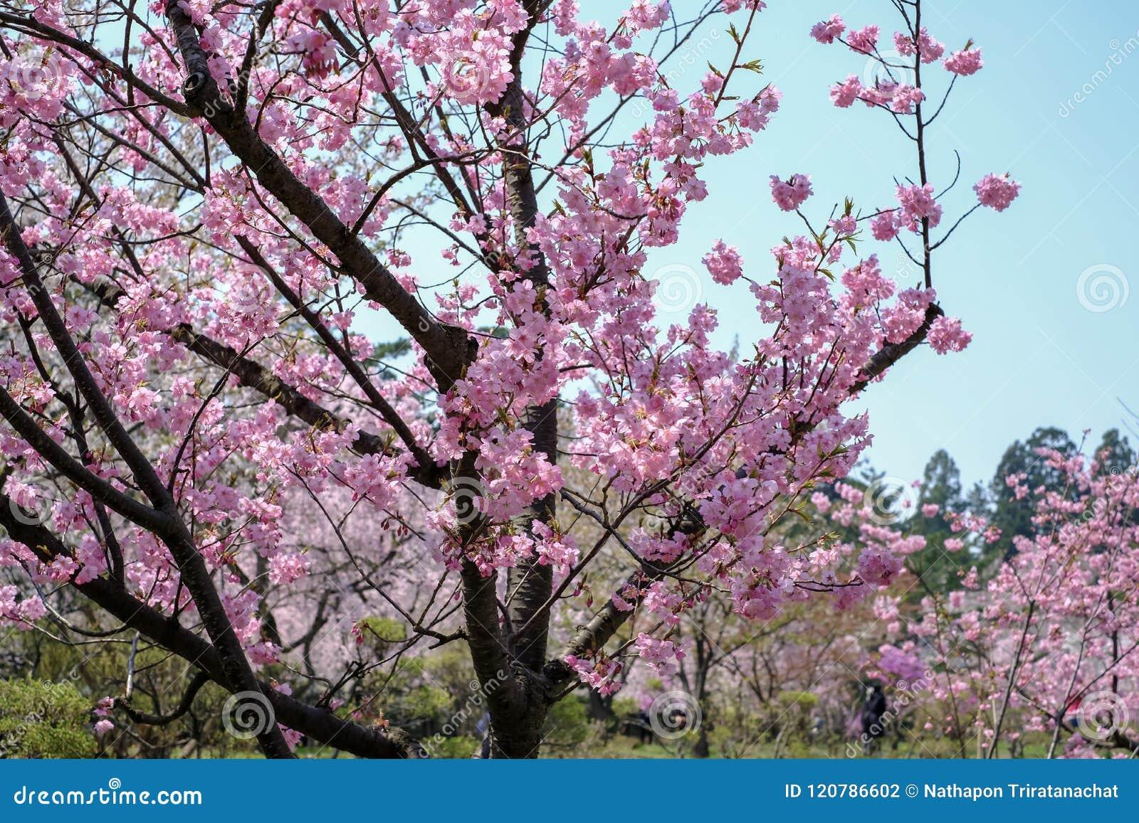Το όμορφο κεράσι ανθίζει στο πάρκο Hirosaki, Aomori, Tohoku, Ιαπωνία την άνοιξη