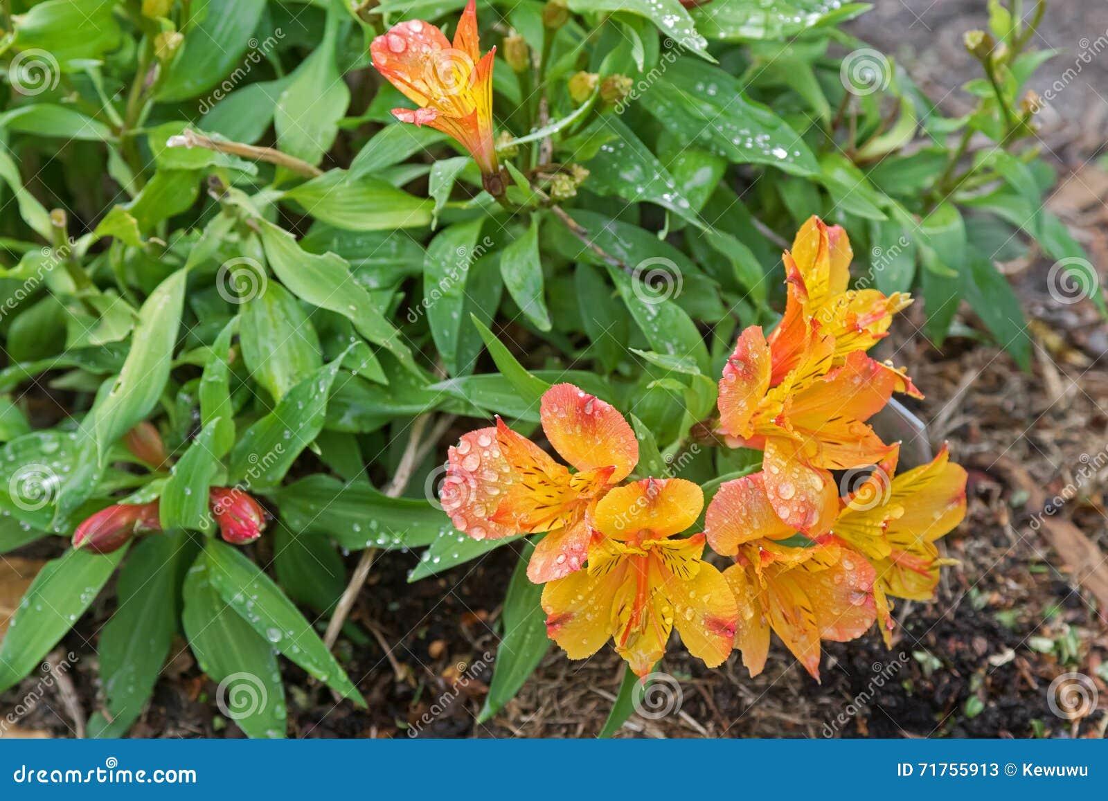 Το Alstroemeria ανθίζει (περουβιανός κρίνος, ή κρίνος του Incas) μέσα ή