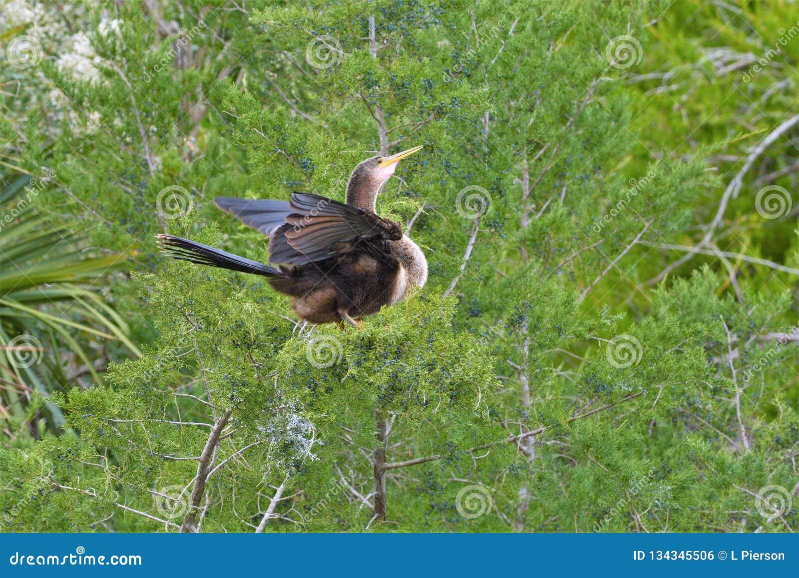 Το anhinga είναι πιστό στο συνεργάτη του διαμορφώνοντας έναν μονογαμικό δεσμό που μπορεί να διαρκέσει αρκετά έτη