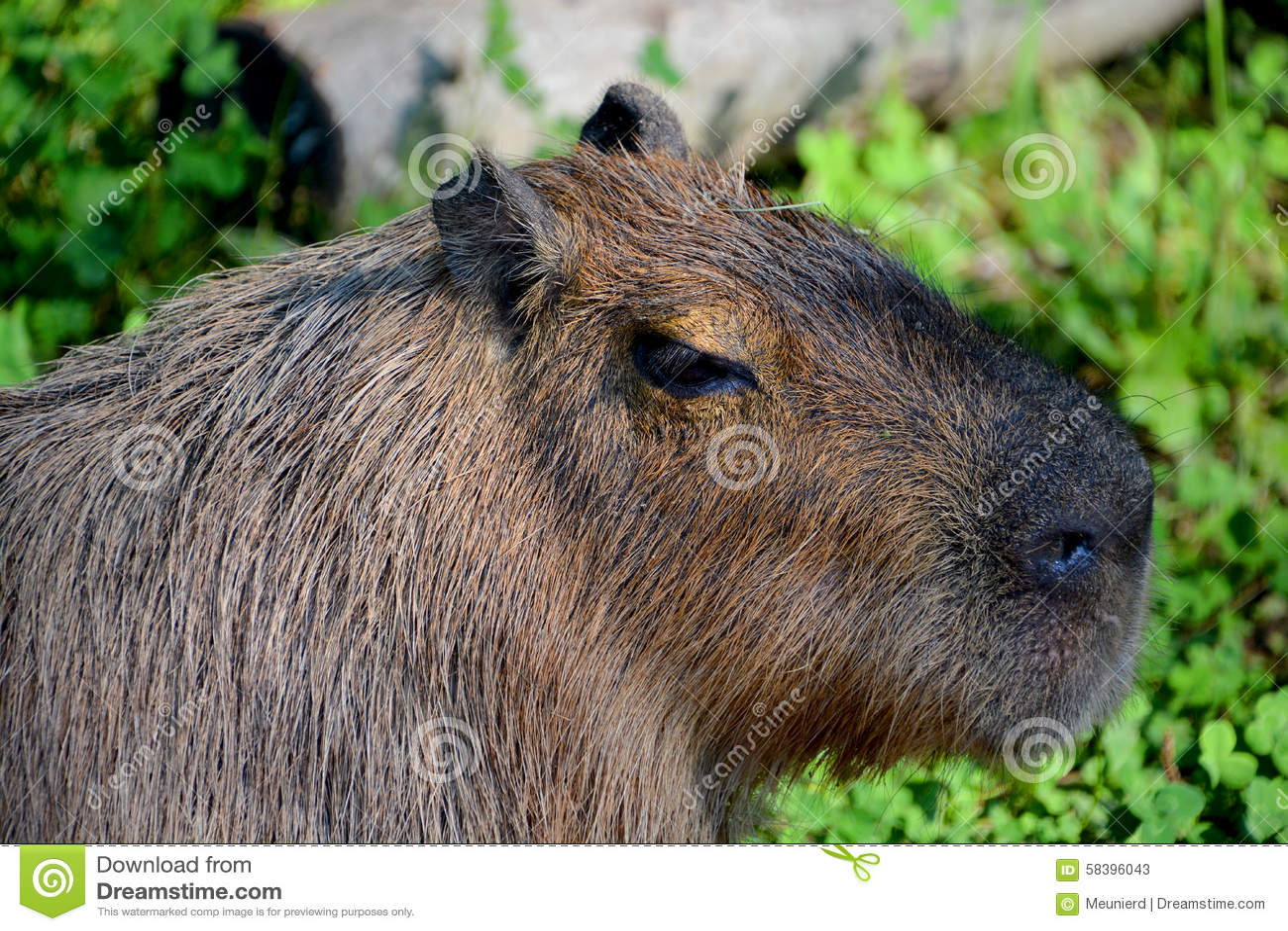 Το capybara