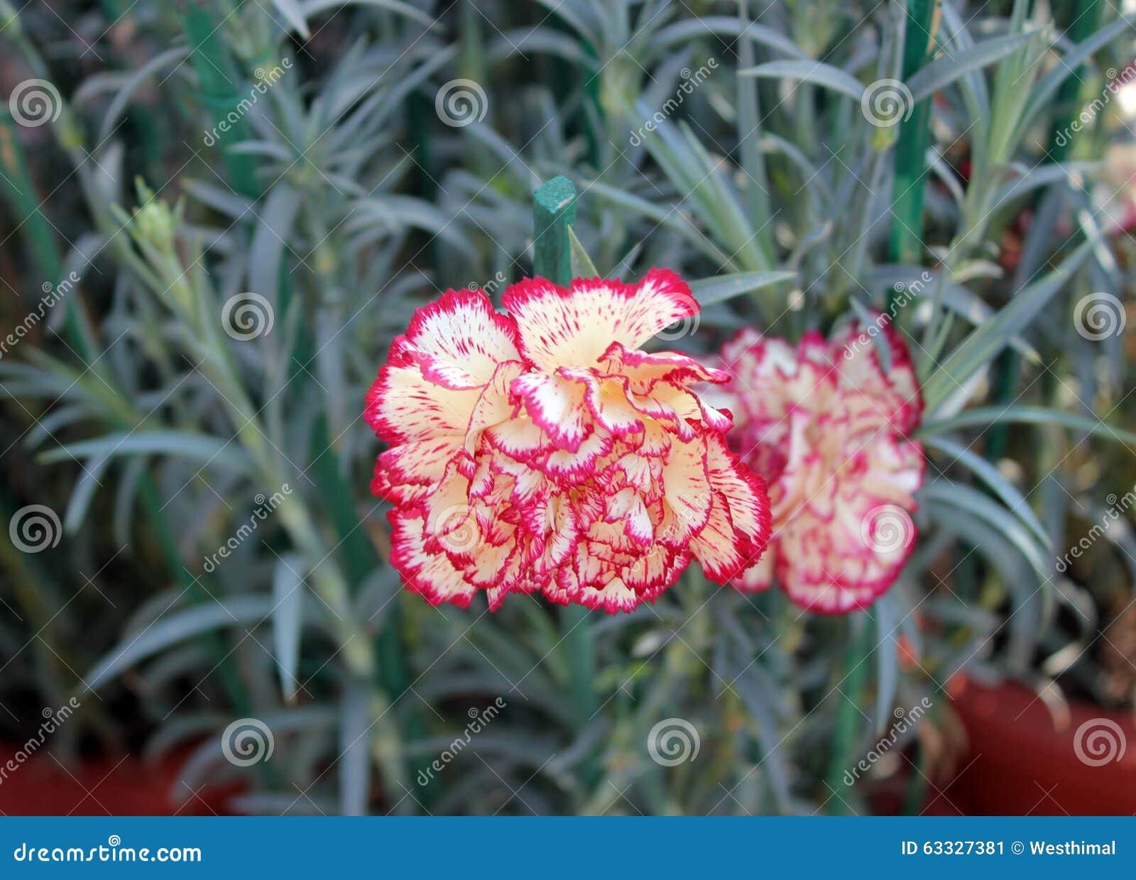 Το caryophyllus Dianthus, οδοντώνει το ακονισμένο γαρίφαλο
