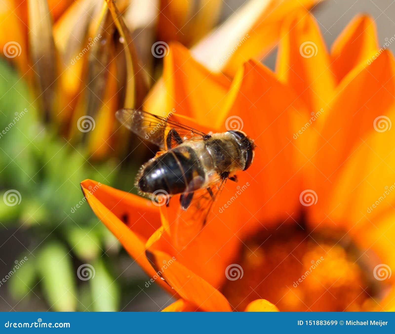 Το Eristalis tenax ή ο κηφήνας πετά, ένα ευρωπαϊκό hoverfly, καθμένος στο λουλούδι