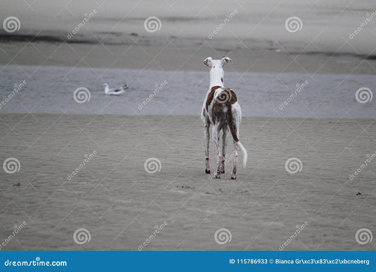 Το Galgo στέκεται στη θάλασσα