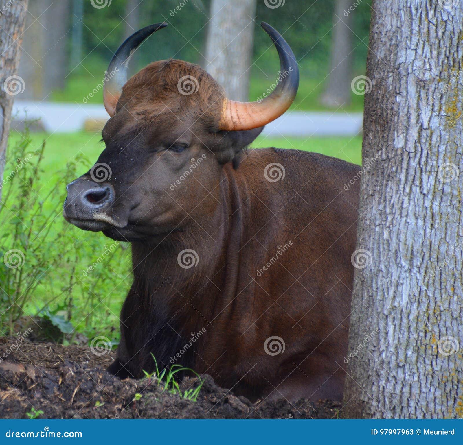 Το gaur