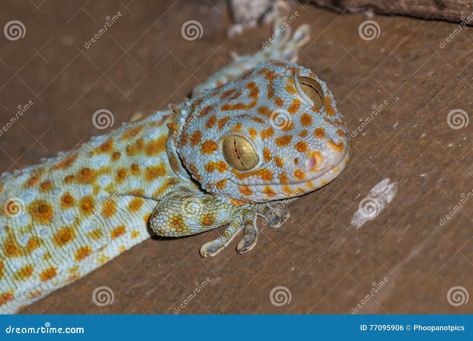 το gecko στη στέγη