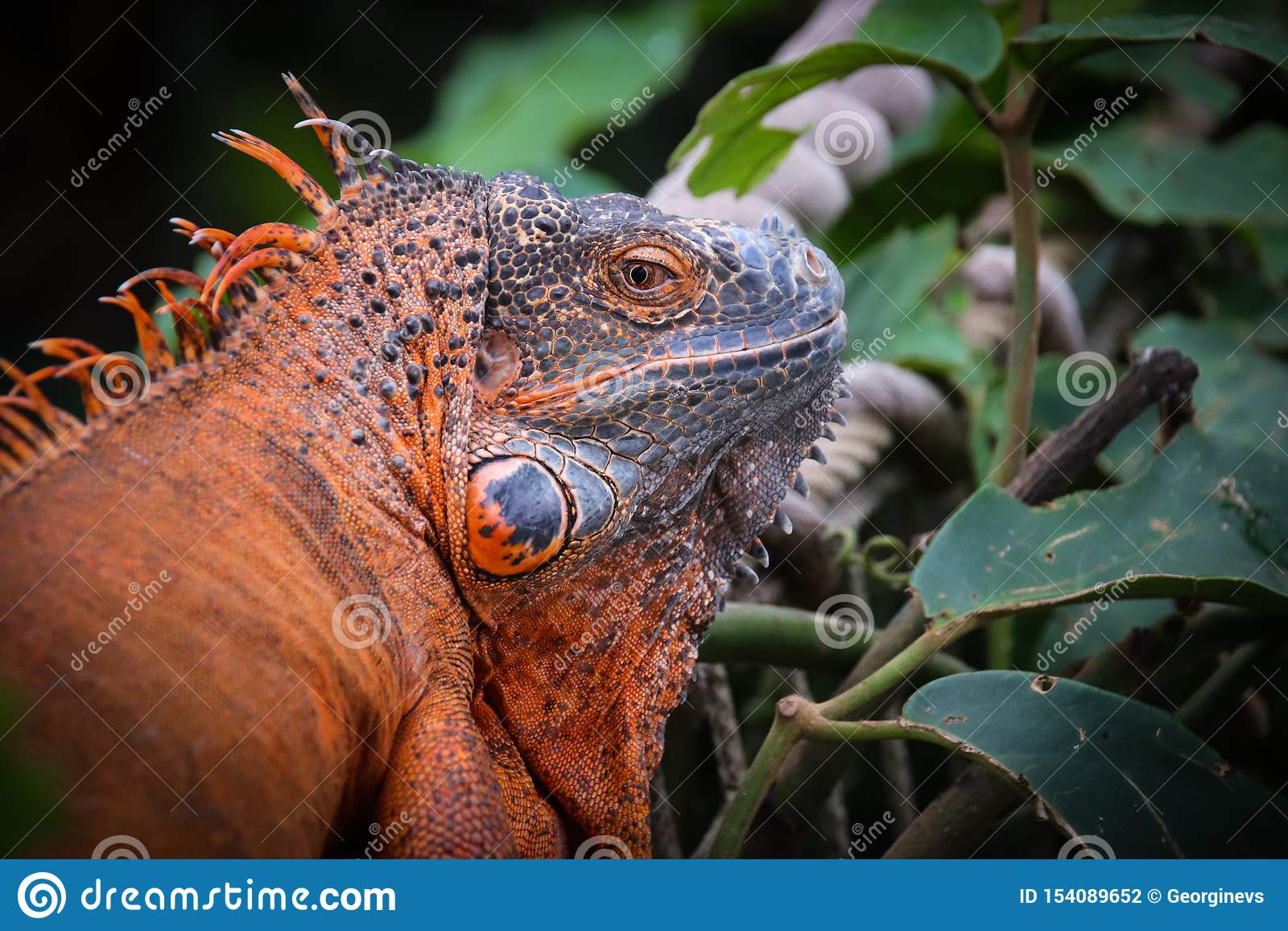 Το Iguana είναι ένα γένος των χορτοφάγων σαυρών