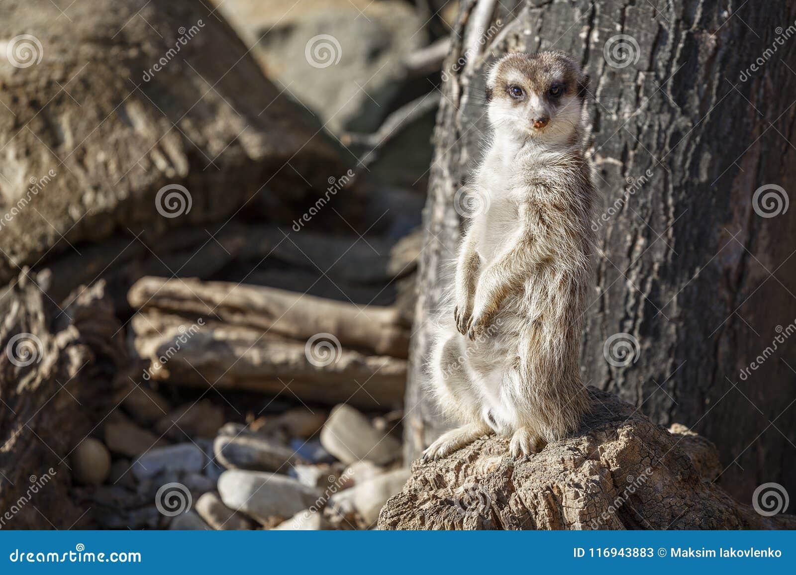 Το Meerkat κάθεται μεταξύ των πετρών