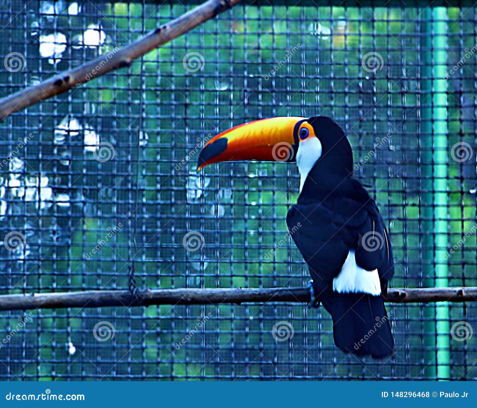 Το toucan και καταφανές ράμφος του