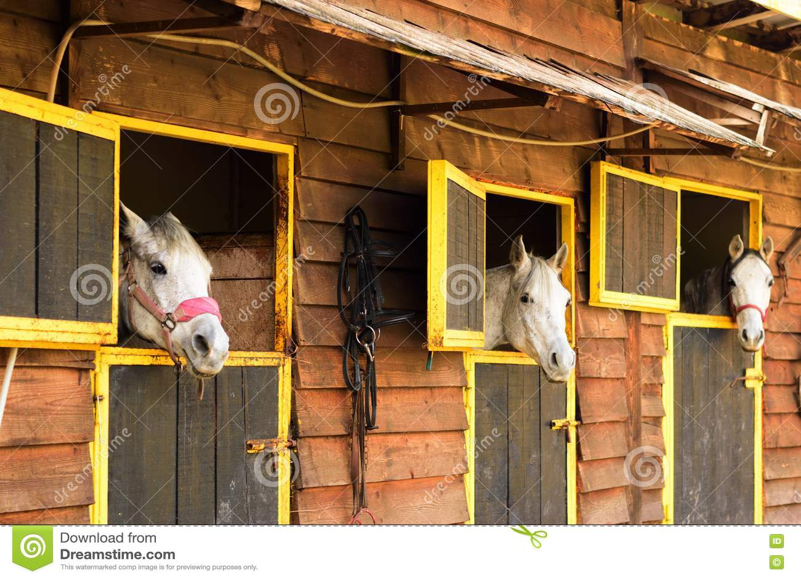 Τρία άσπρα αραβικά άλογα που κοιτάζουν έξω από τα κιβώτιά τους