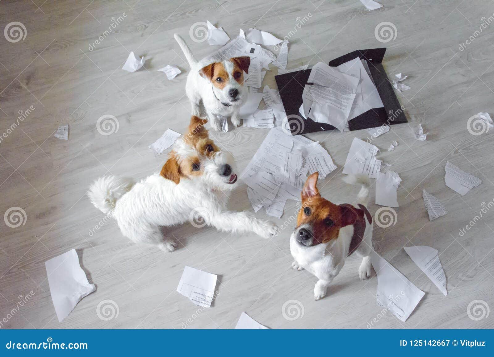 Τρία κακά σκυλιά στη μέση βρωμίζουν τη συνεδρίαση και να ανατρέξουν Σημεία ενός σκυλιού σε άλλο με το πόδι του