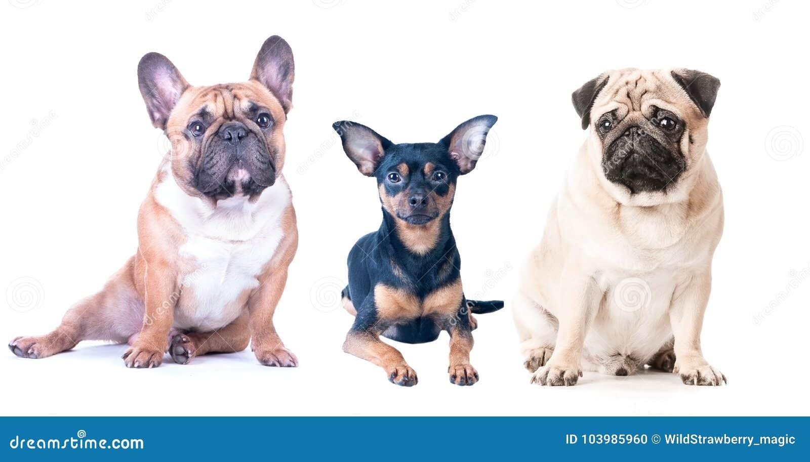Τρία σκυλιά σε ένα άσπρο υπόβαθρο, που απομονώνεται Γαλλικό μπουλντόγκ, μαλαγμένος πηλός