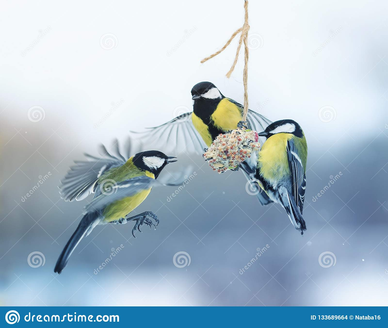 Τρία το όμορφο πεινασμένο μικρό πουλί Tits πέταξε σε μια κρεμώντας φάτνη