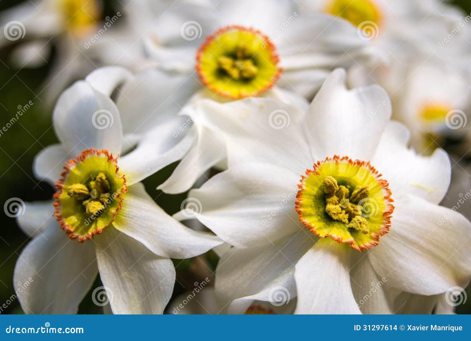 Τρίο των daffodils.