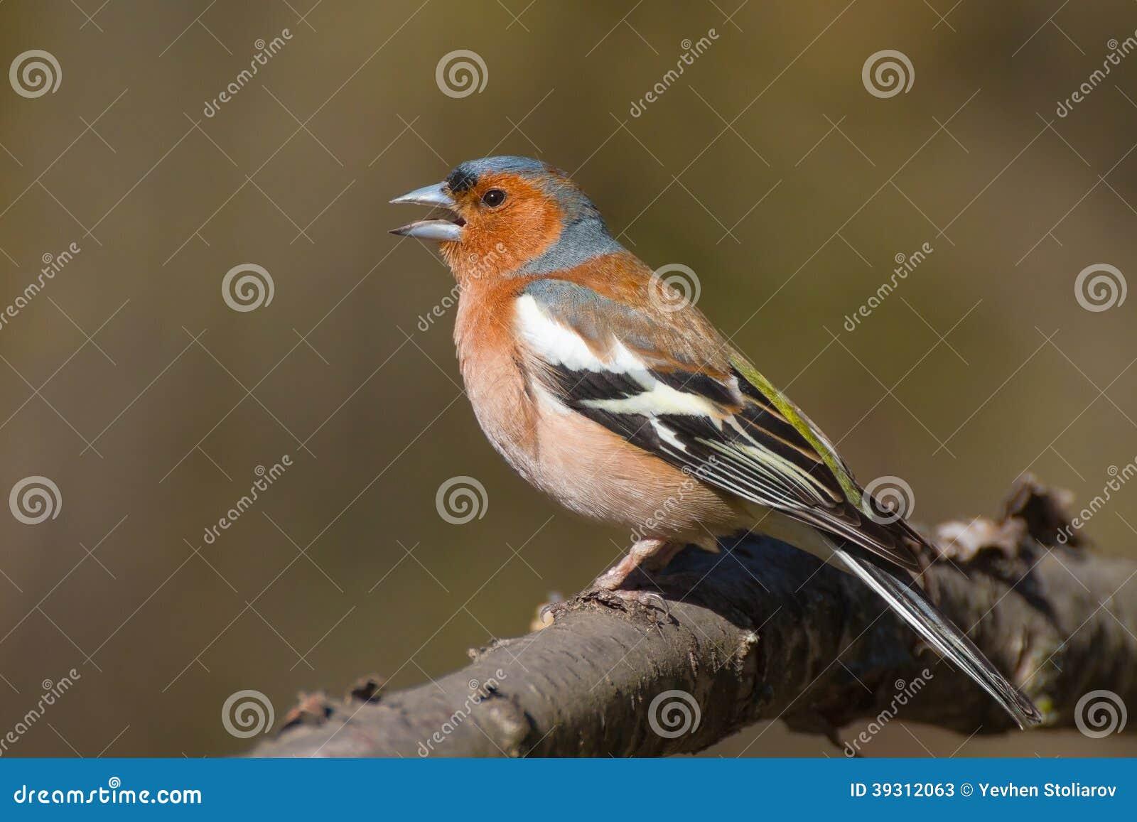 Τραγουδώντας αρσενικό chaffinch