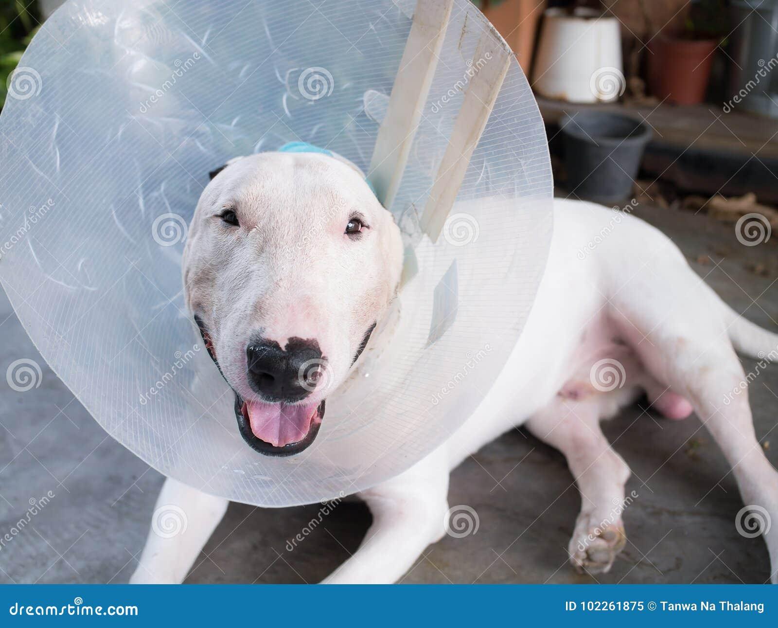 Τραυματισμένο άσπρο σκυλί τεριέ ταύρων