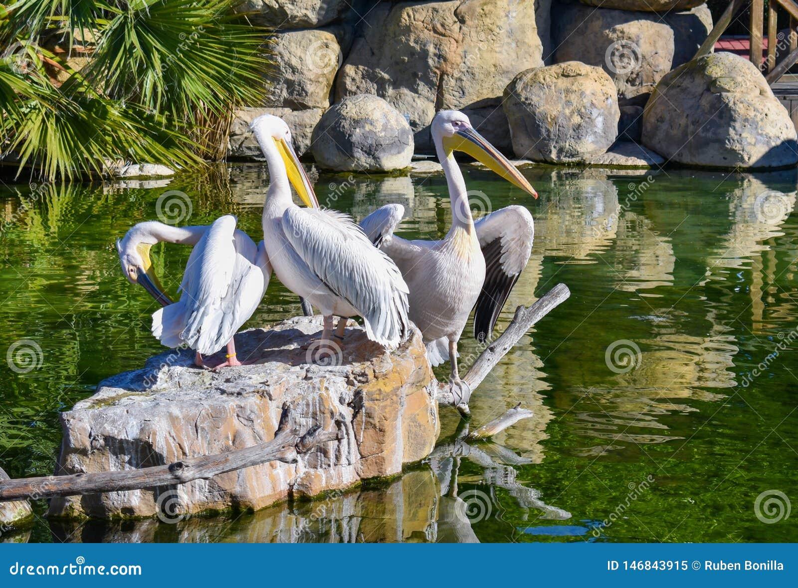 τρεις άσπροι πελεκάνοι στηρίζονται σε έναν βράχο σε μια πράσινη λίμνη νερού Ένας πελεκάνος είναι ανοιγμένα γραπτά φτερά για να το