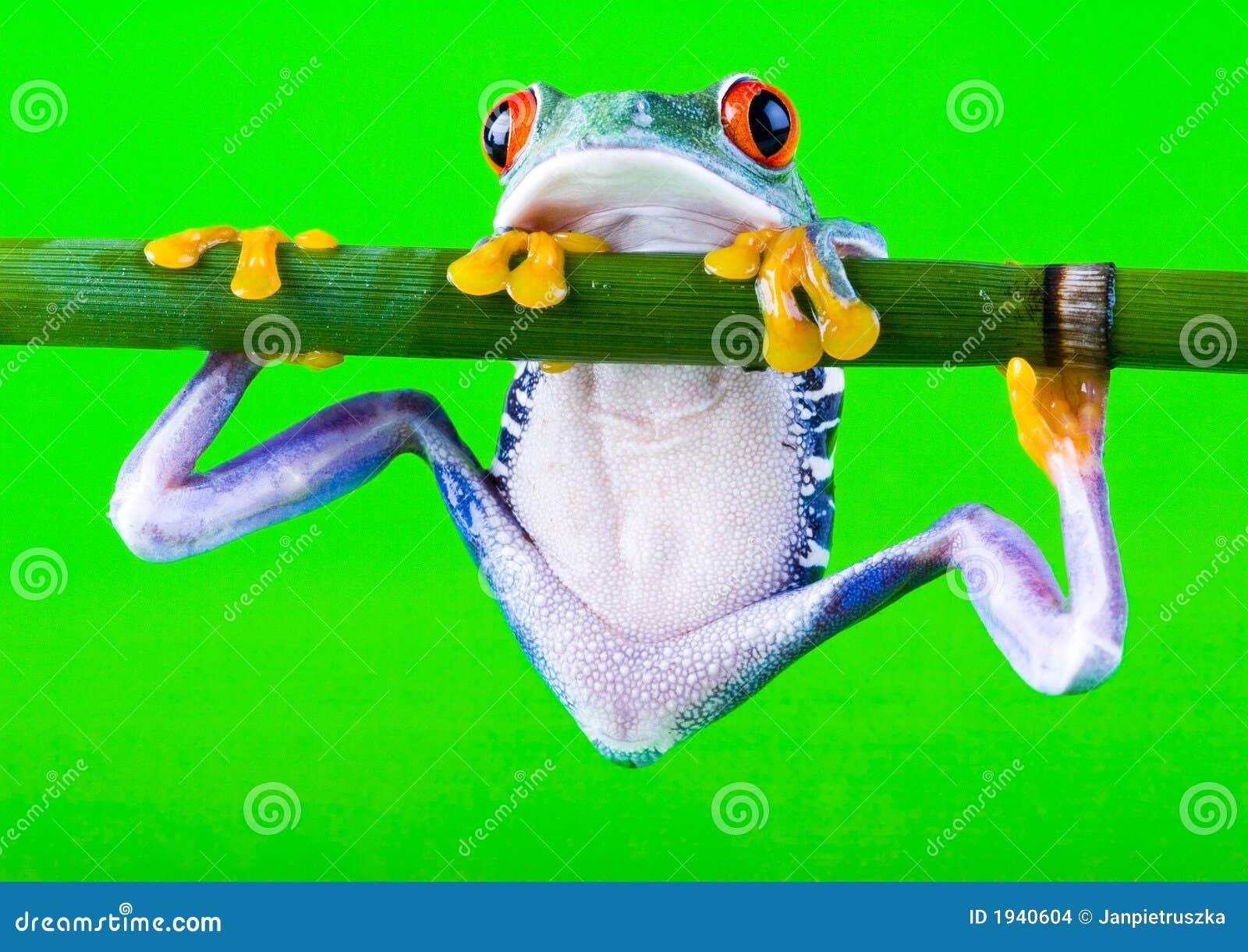 τρελλός βάτραχος