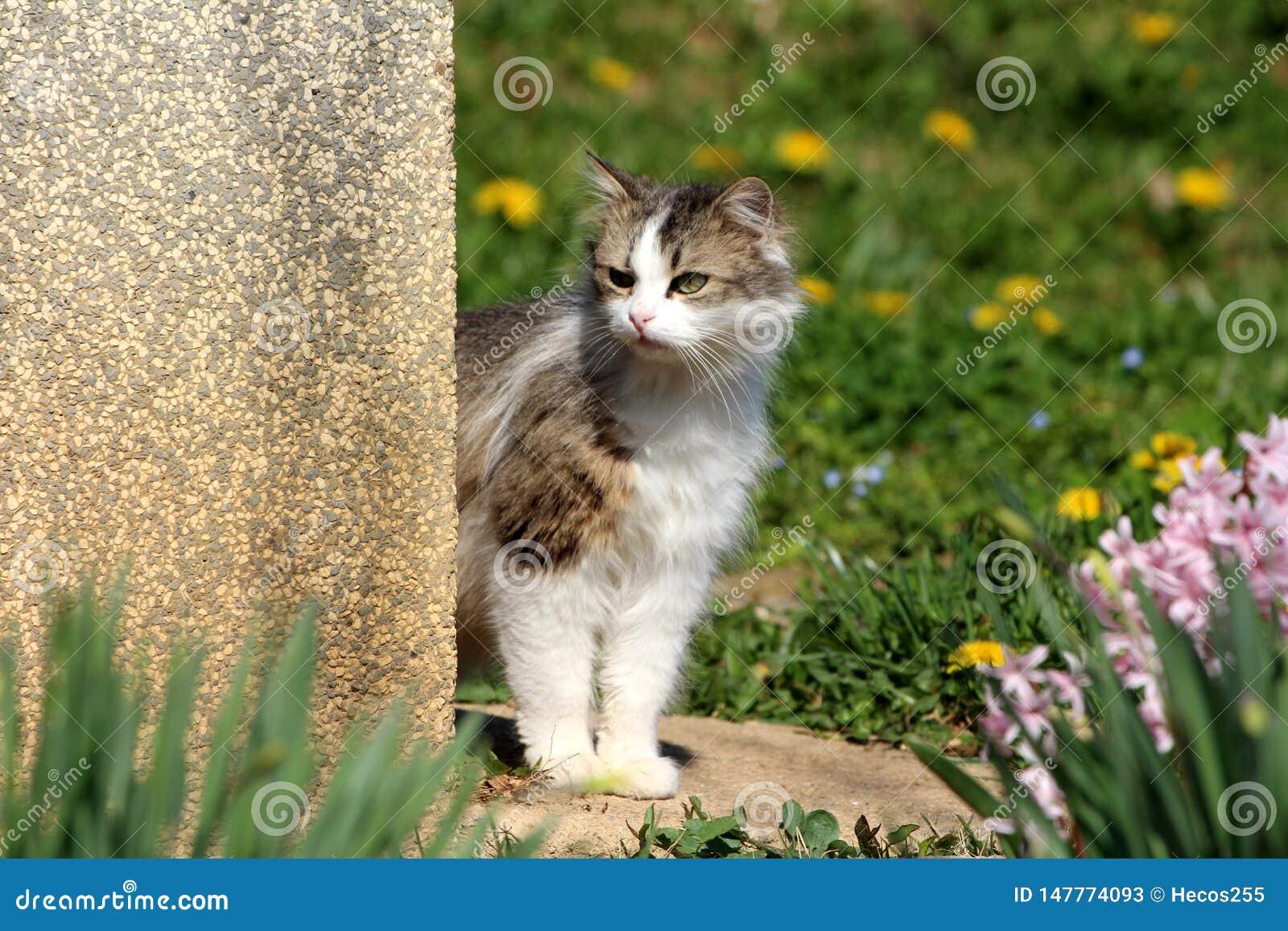 Τριχωτή γκρίζα και άσπρη εσωτερική γάτα που εξετάζει περίεργα πέρα από τη γωνία οικογενειακών σπιτιών κάτι να ενδιαφέρει που περι