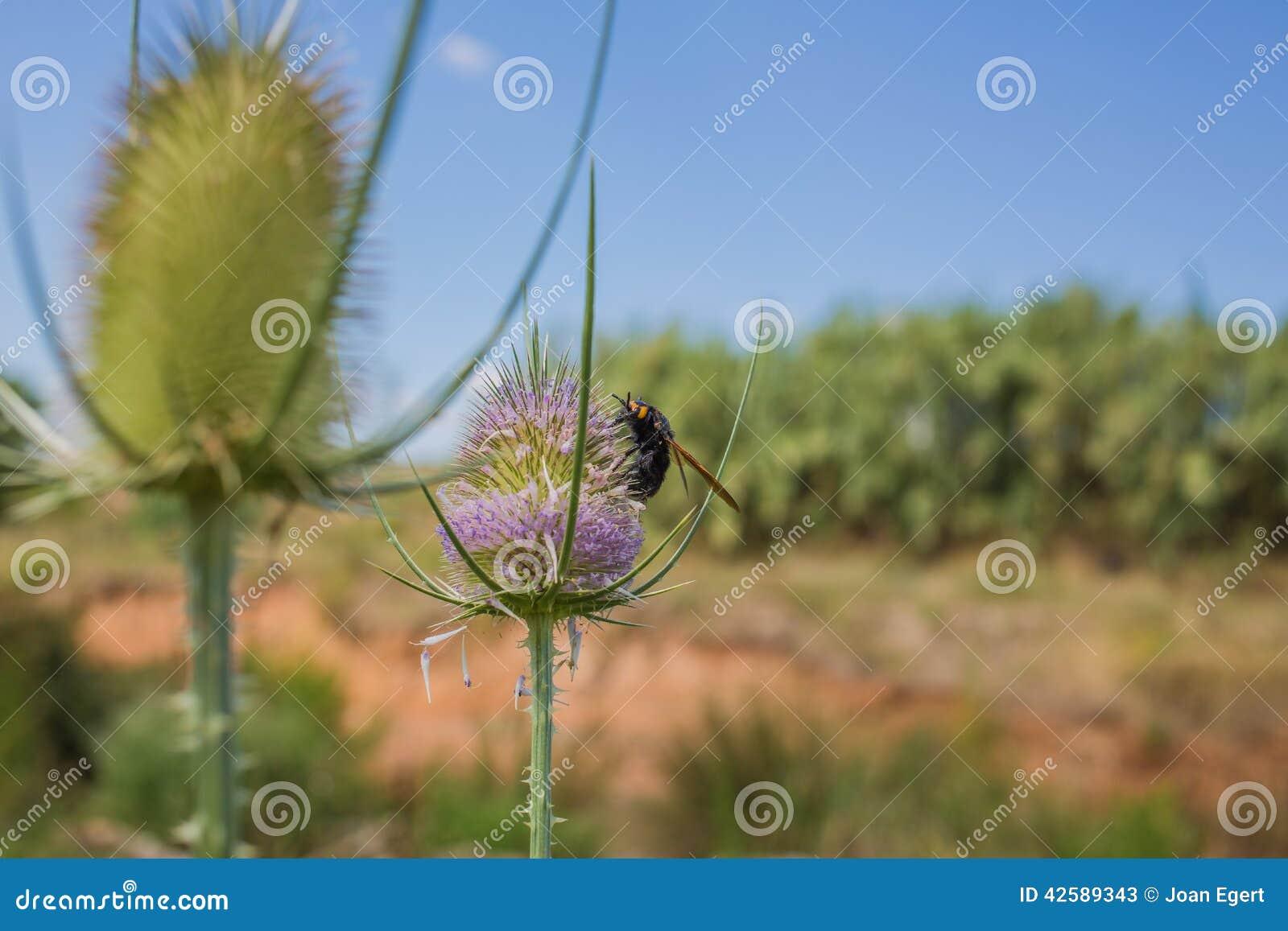 Τριχωτή σφήκα λουλουδιών στο λουλούδι εγκαταστάσεων κάρδων