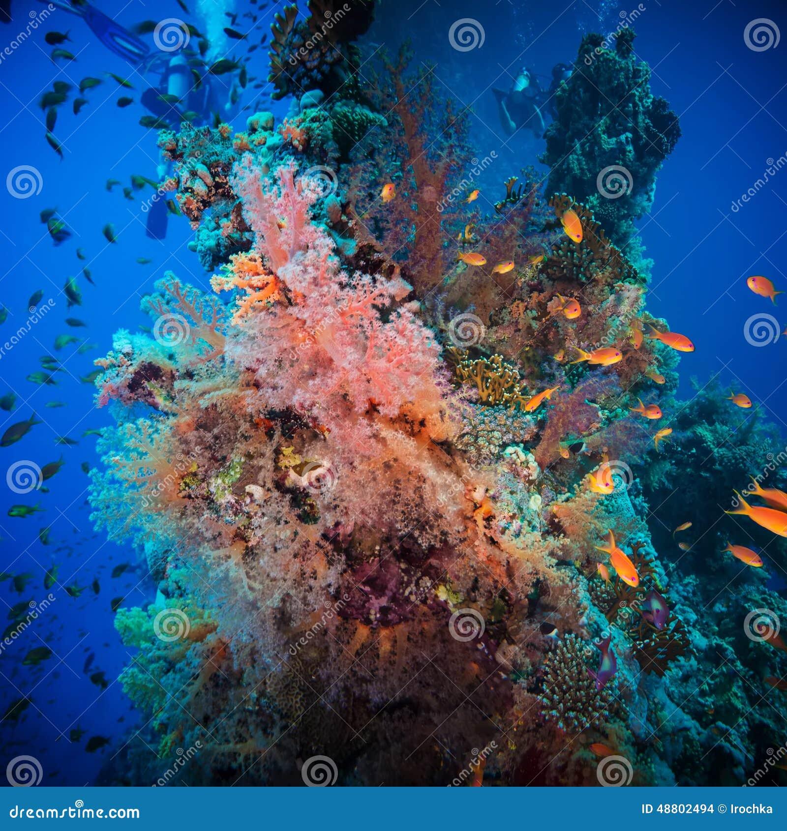 Τροπικά ψάρια Anthias με τα καθαρά κοράλλια πυρκαγιάς