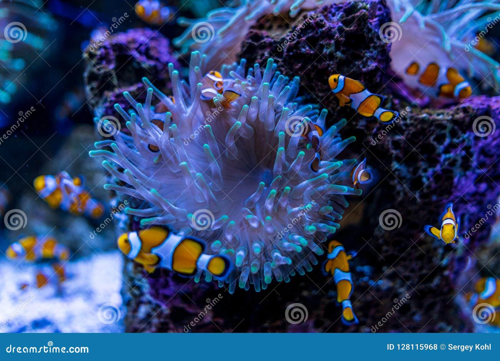 Τροπικά ψάρια Clownfish Amphiprioninae