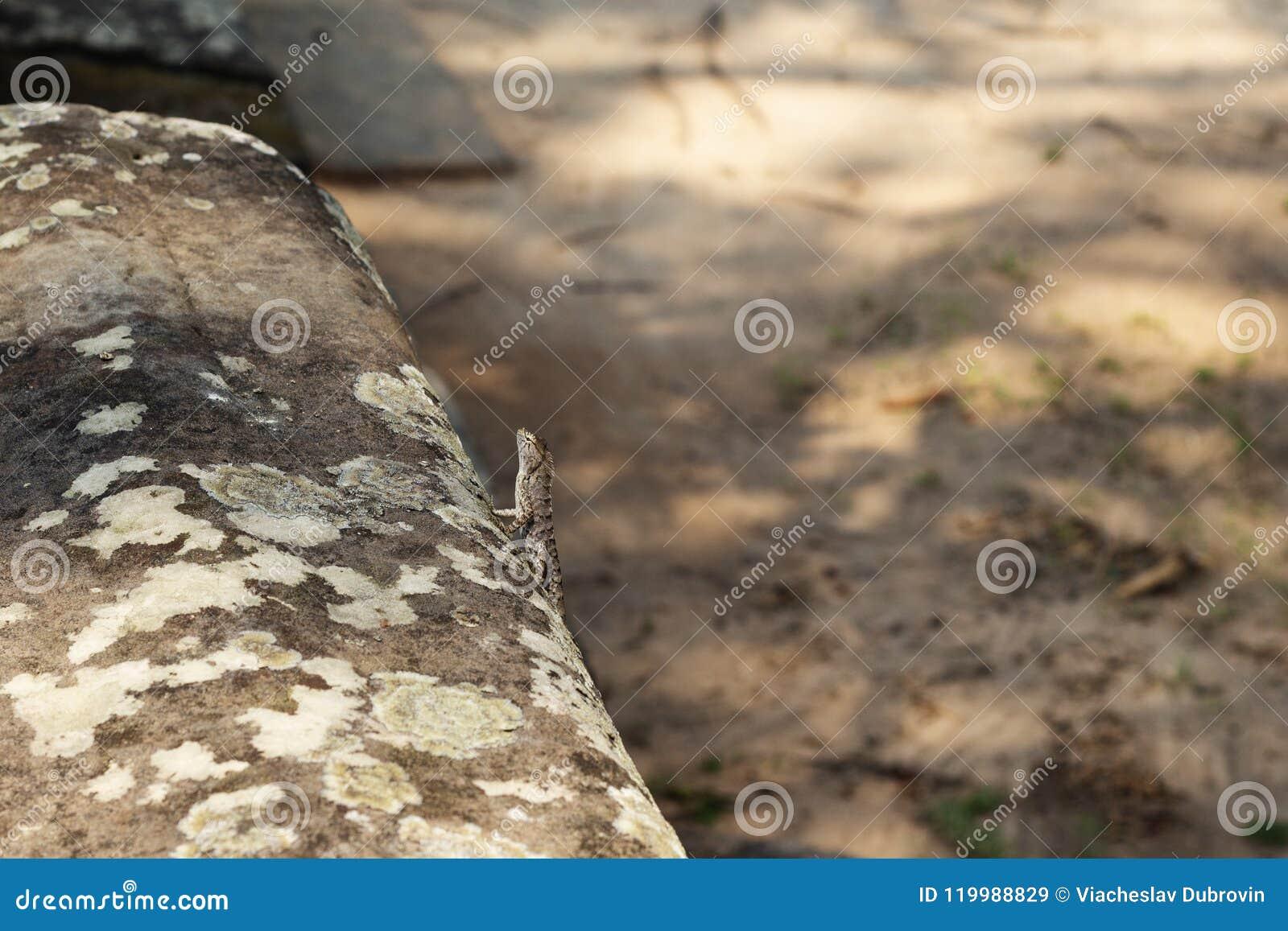 Τροπική σαύρα στη mossy πέτρα Φυσική φωτογραφία τροπικών κύκλων Λίγο iguana που στηρίζεται στην ηλιόλουστη πέτρα
