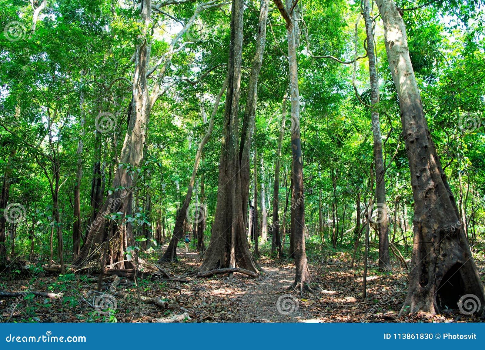 Τροπικό τροπικό δάσος μέσα στο Manaus, Βραζιλία Δέντρα με τα πράσινα φύλλα στη ζούγκλα Θερινό δάσος στο φυσικό τοπίο Η φύση