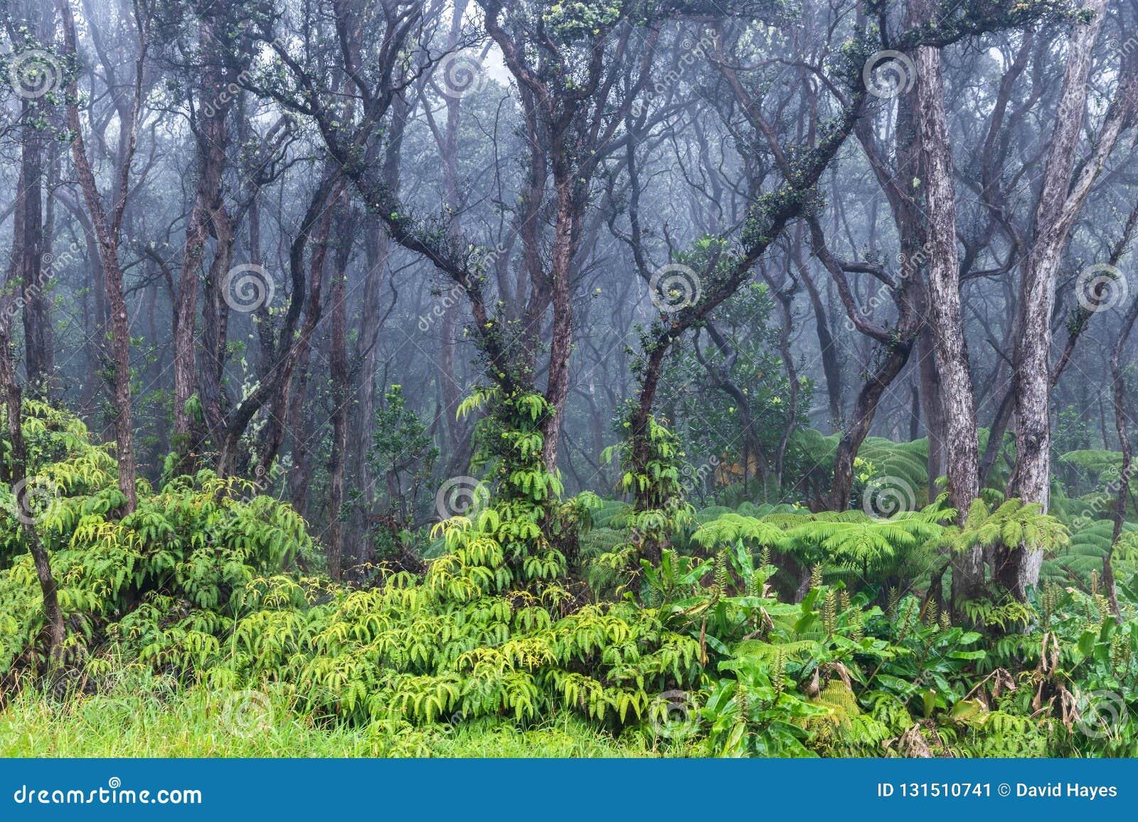 Τροπικό τροπικό δάσος στη Χαβάη Πράσινη βλάστηση στο έδαφος Άγονα δέντρα ανωτέρω Υδρονέφωση στο υπόβαθρο
