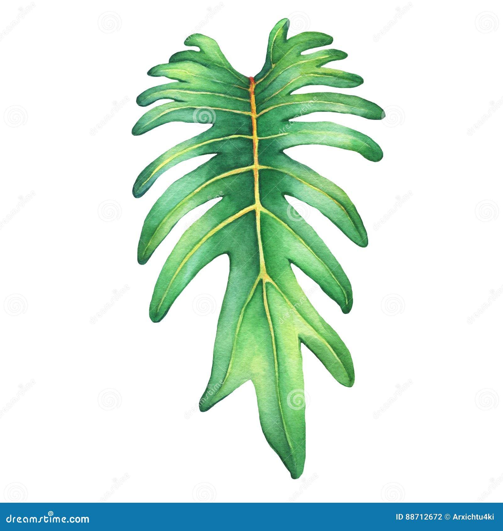 Τροπικό πράσινο φύλλο του φυτού Xanadu philodendron