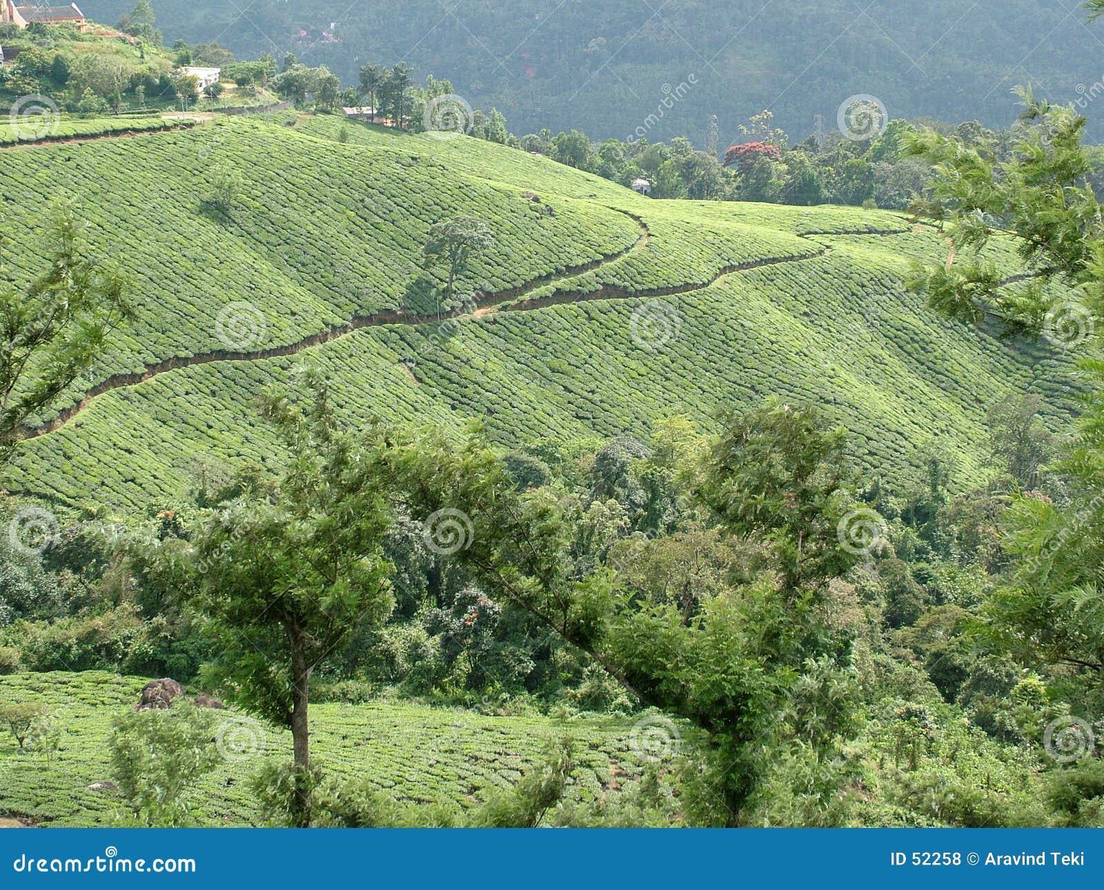 τσάι κήπων