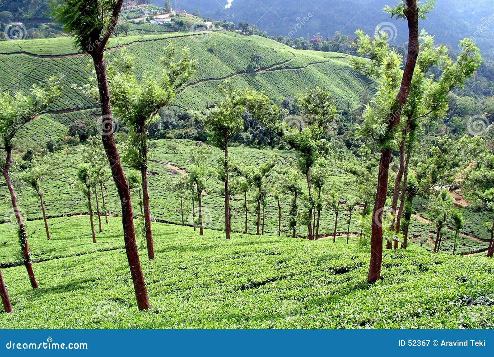 Download τσάι στοκ εικόνα. εικόνα από φρέσκος, χωριό, κήποι, κήπος - 52367