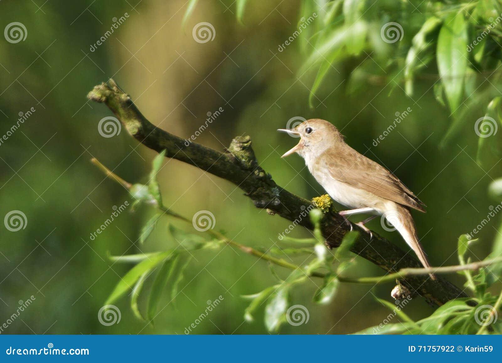 Τσίχλα Nightingale